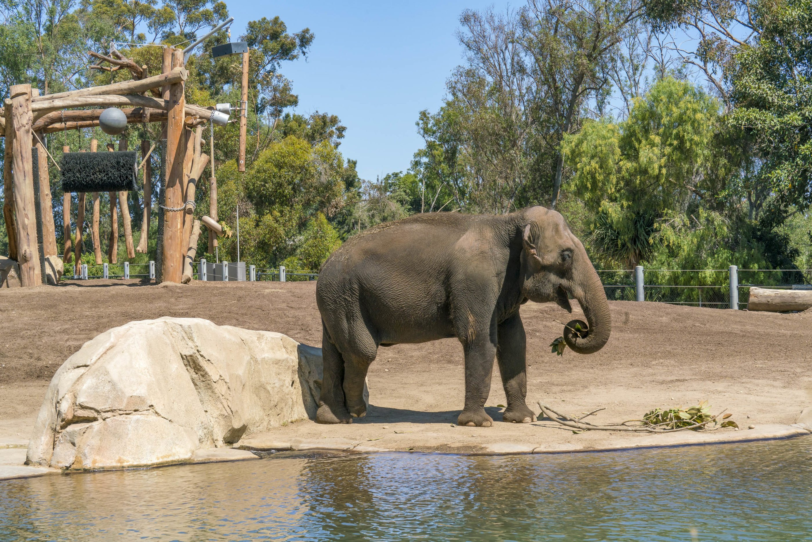 An elephant eating plants at the San Diego Zoo