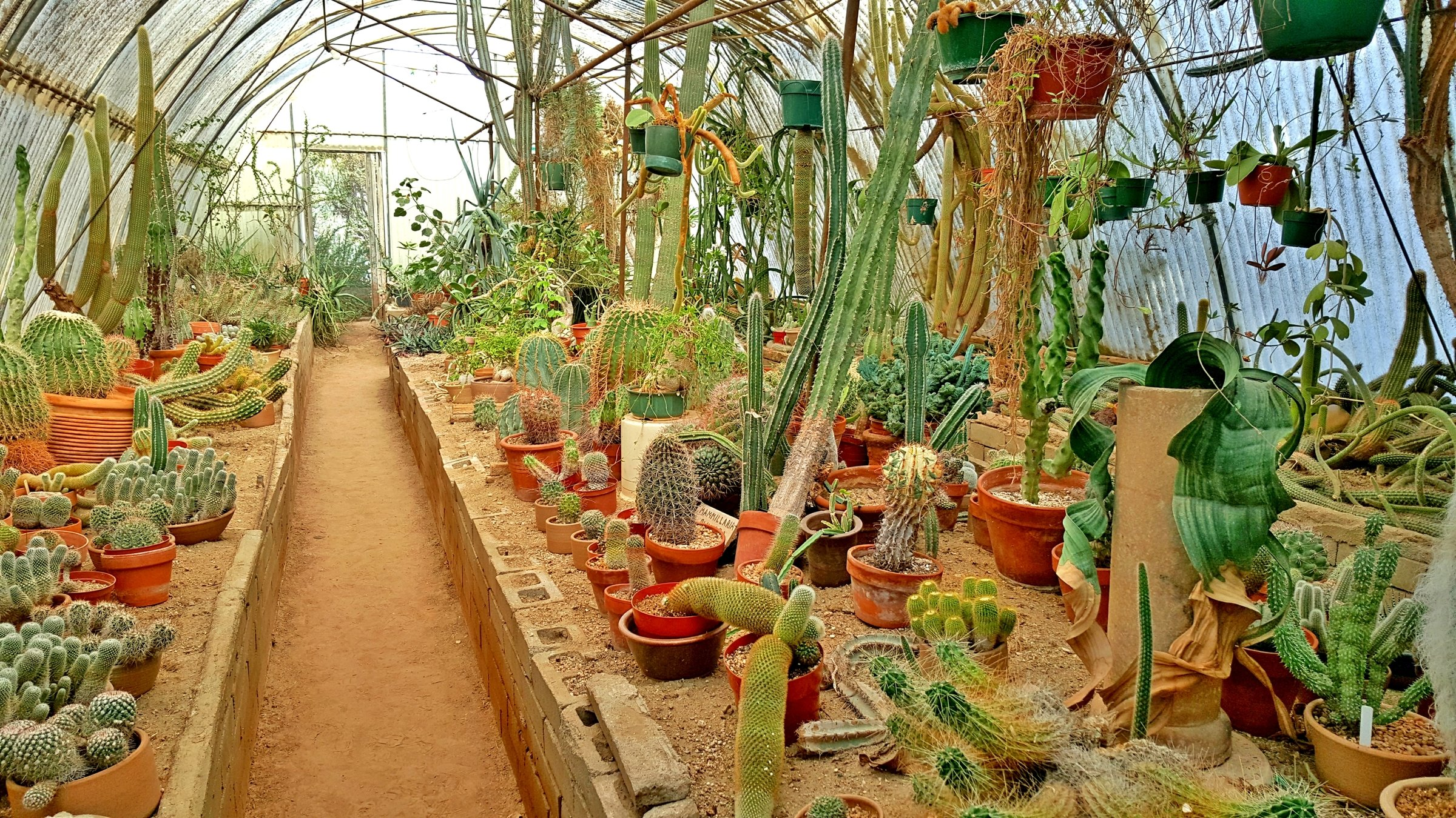 Cacti on display in small pots inside of a greenhouse.