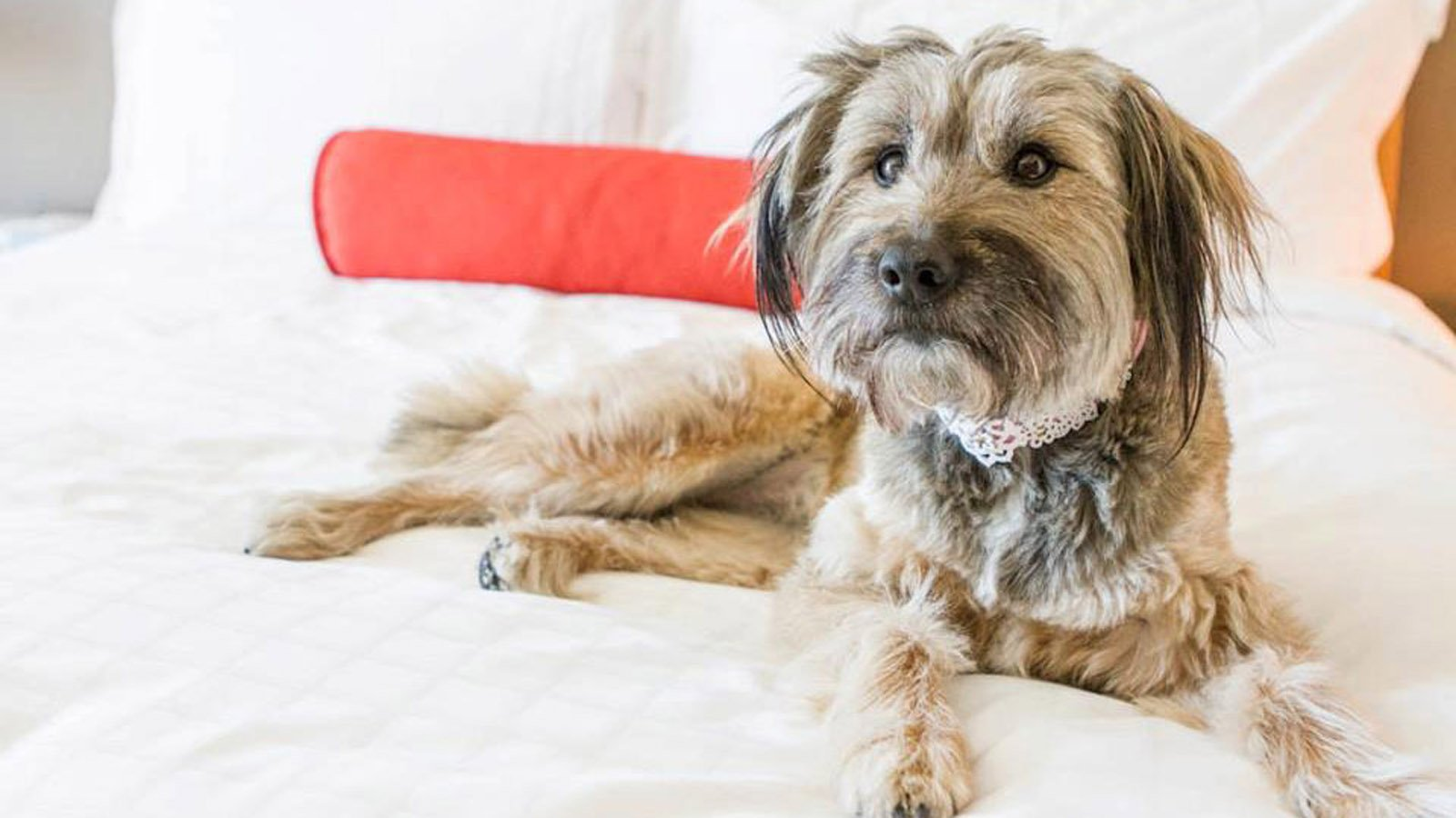A terrier dog rests on a white (human) bed at Beverly Wilshire.