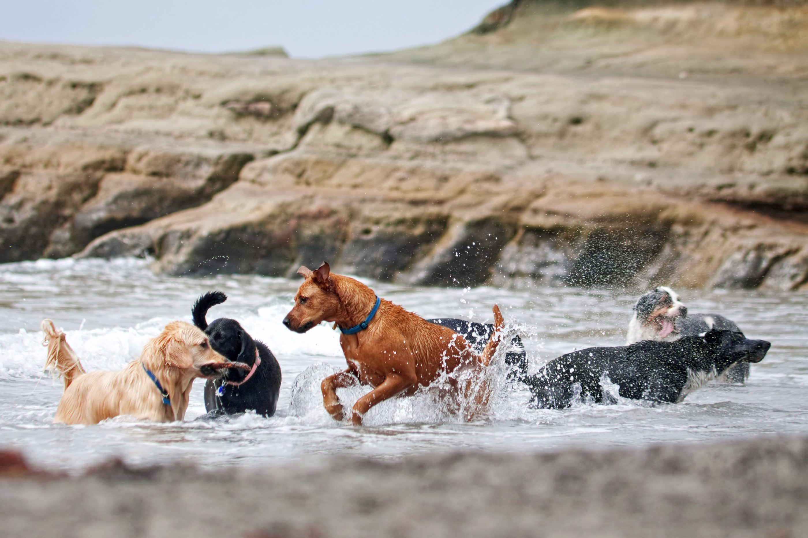 Dogs play in the water at at Dog Beach Del Mar by the Rivermouth.