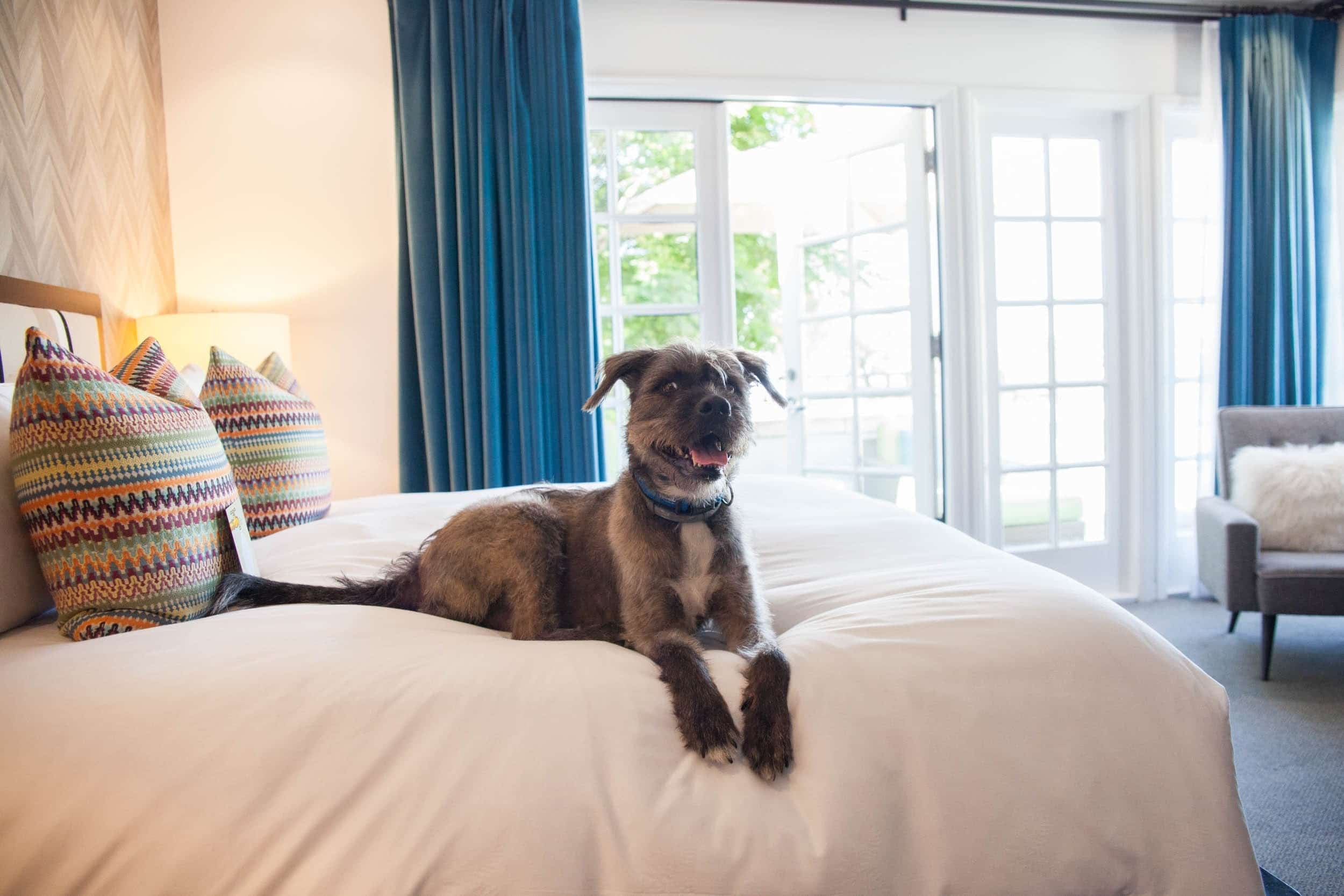 A brown terrier dog rests on the hotel bed.