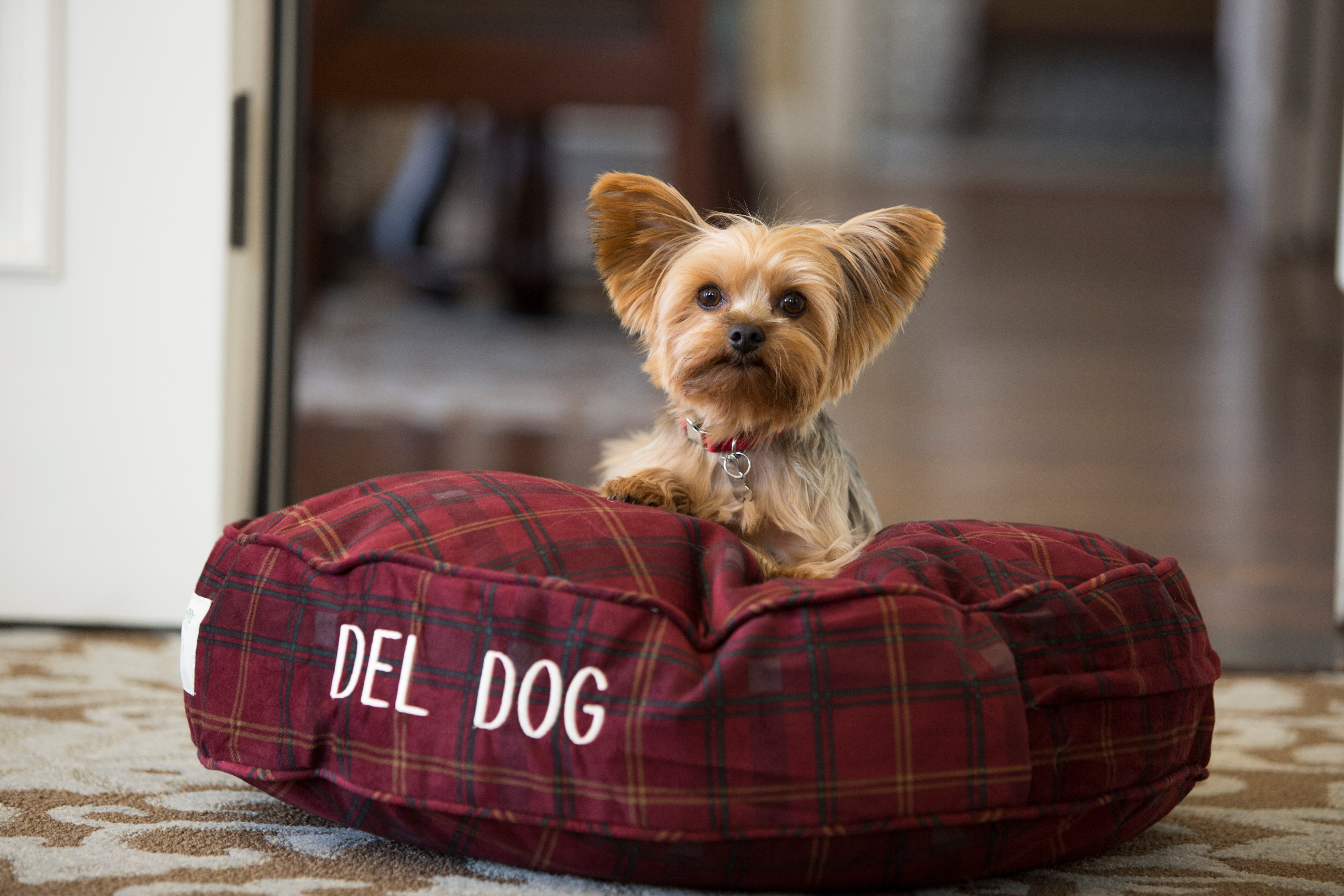 A yorkie dog sits on a maroon pillow bed that says