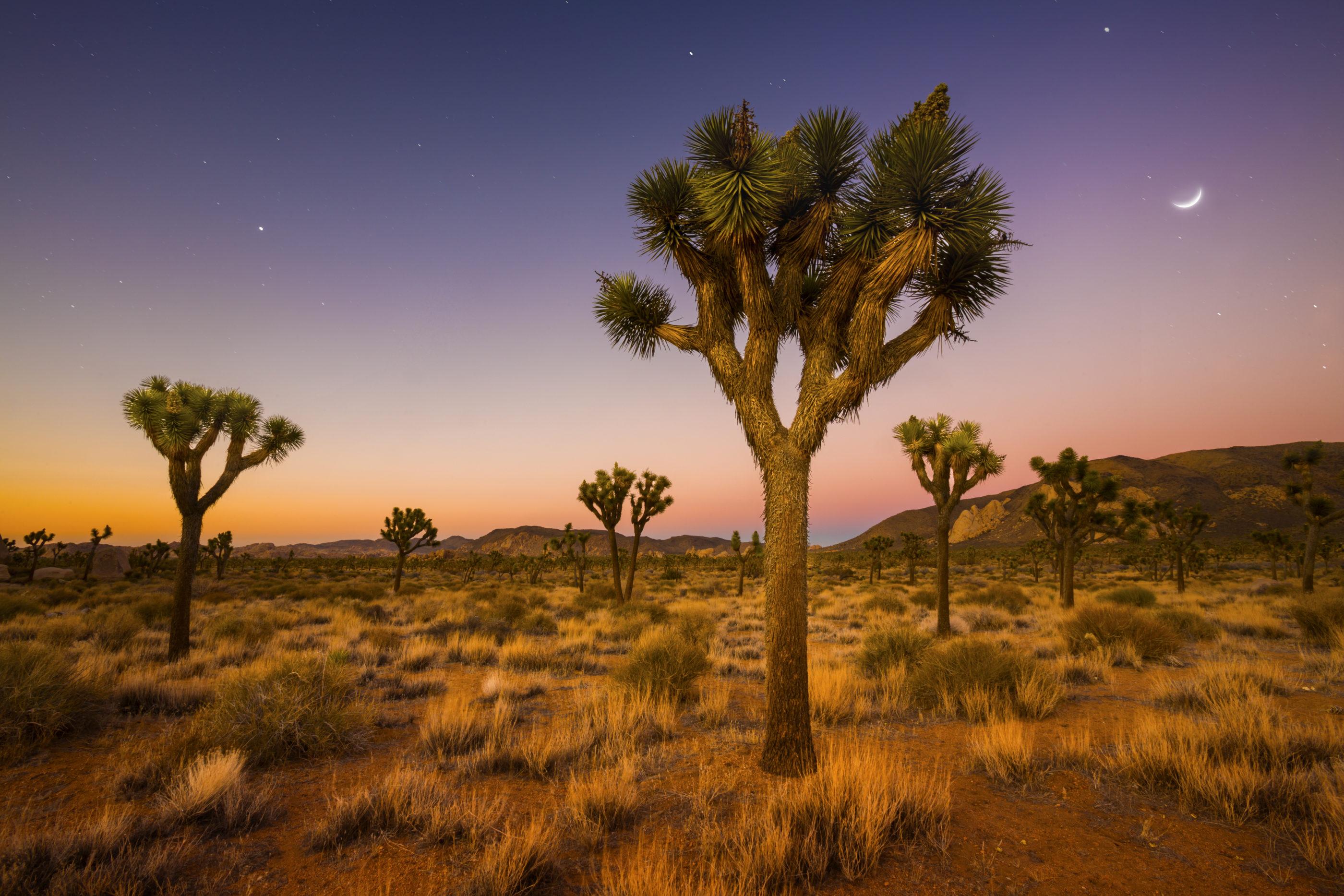Joshua trees in a field at dusk at Joshua Tree National Park.