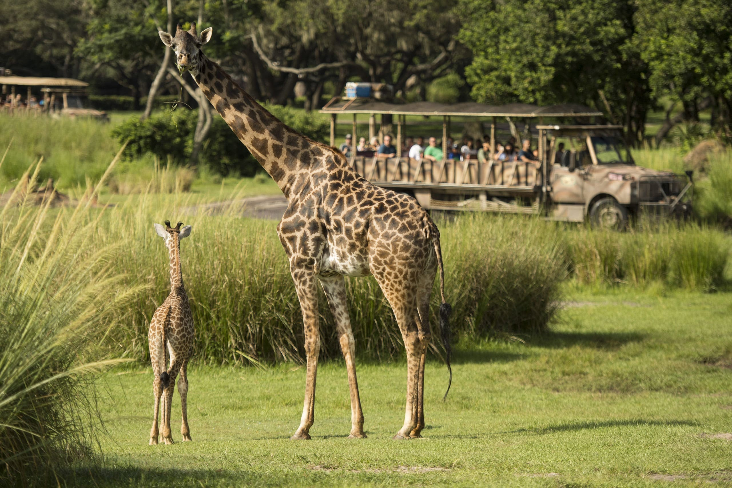 Onlookers in a safari truck admire a baby Masi giraffe and mother at Disney's Animal Kingdom.