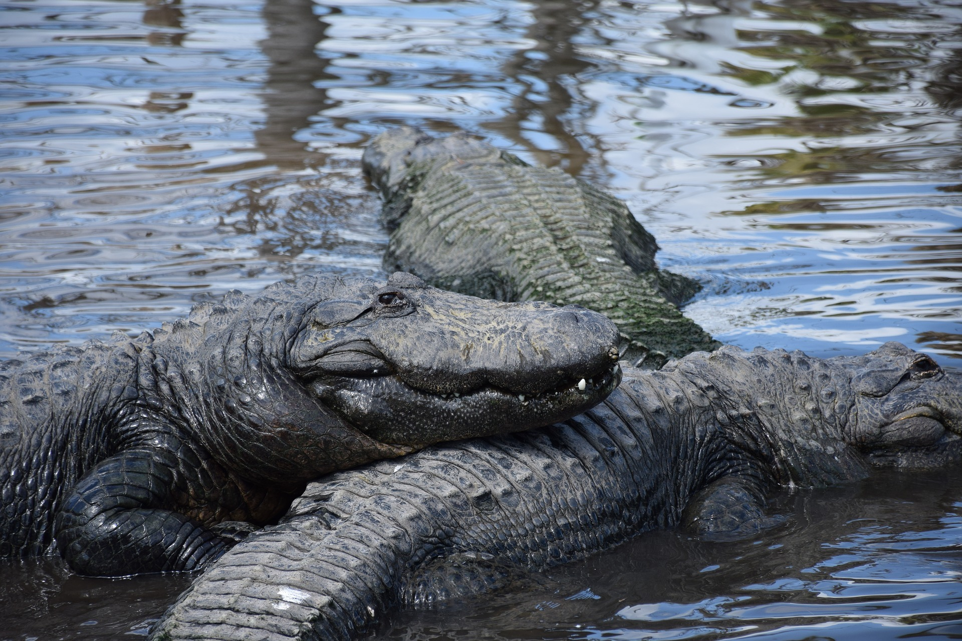 Gators huddle in the water together at Gatorland.