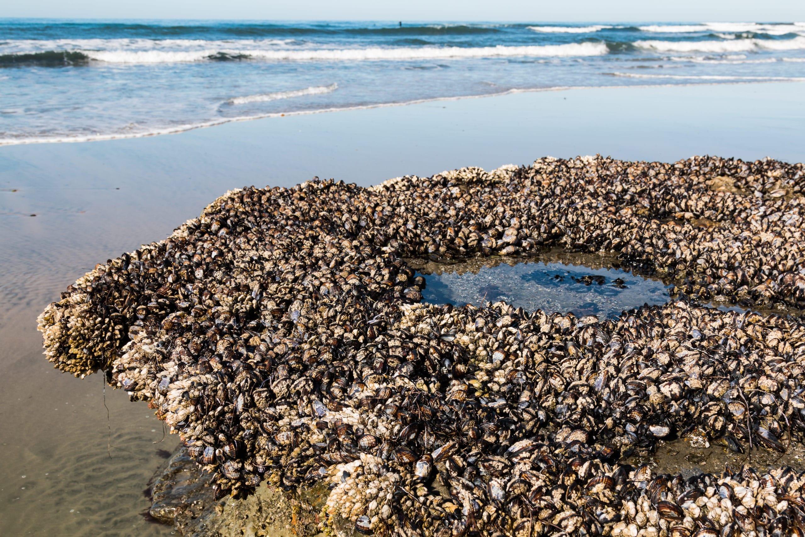 Lots of mollusks create their own tide pool at Swami's State Beach in Encinitas, California.