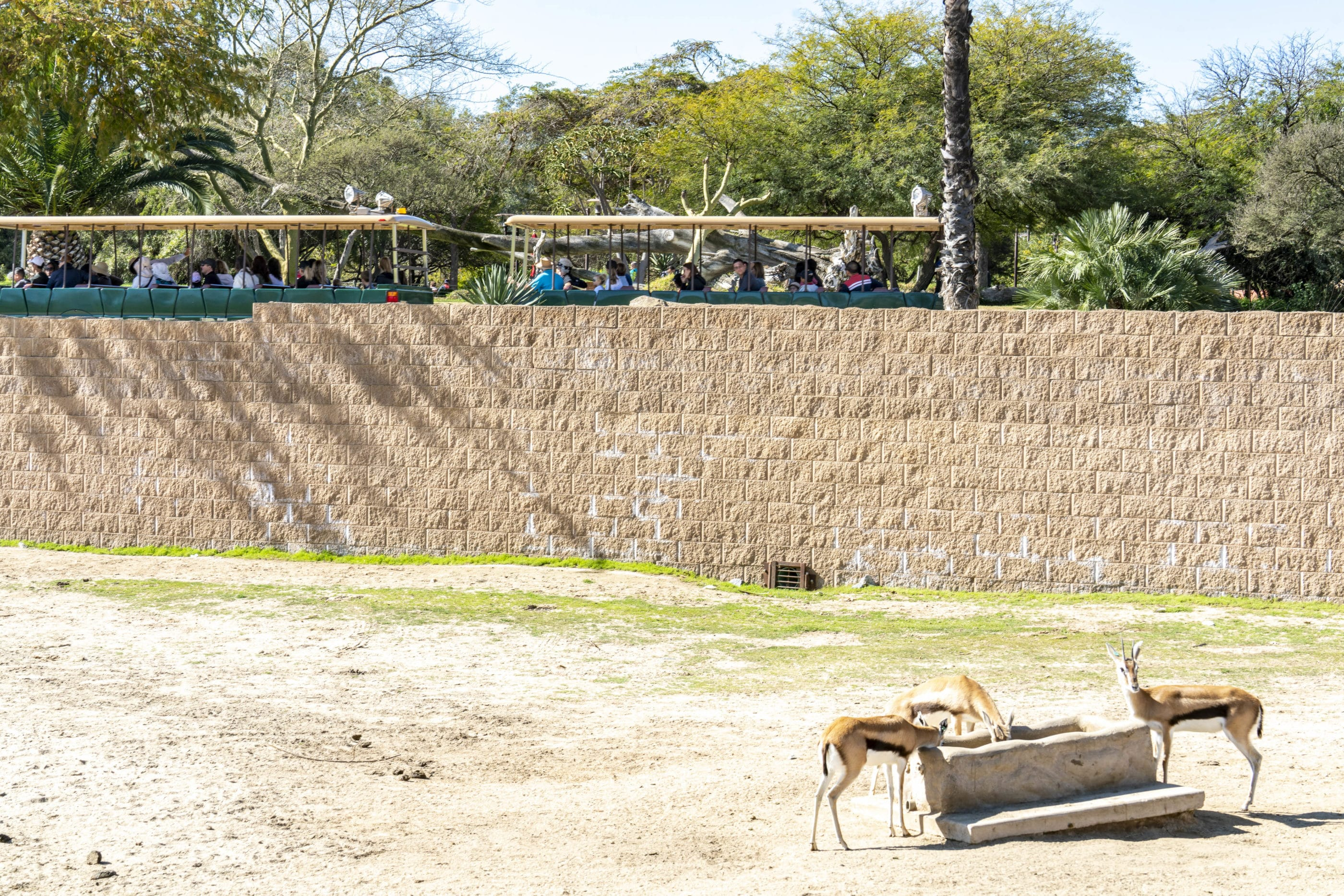 The Africa Tram passes by a large field exhibit as a type of deer drink from a trough.