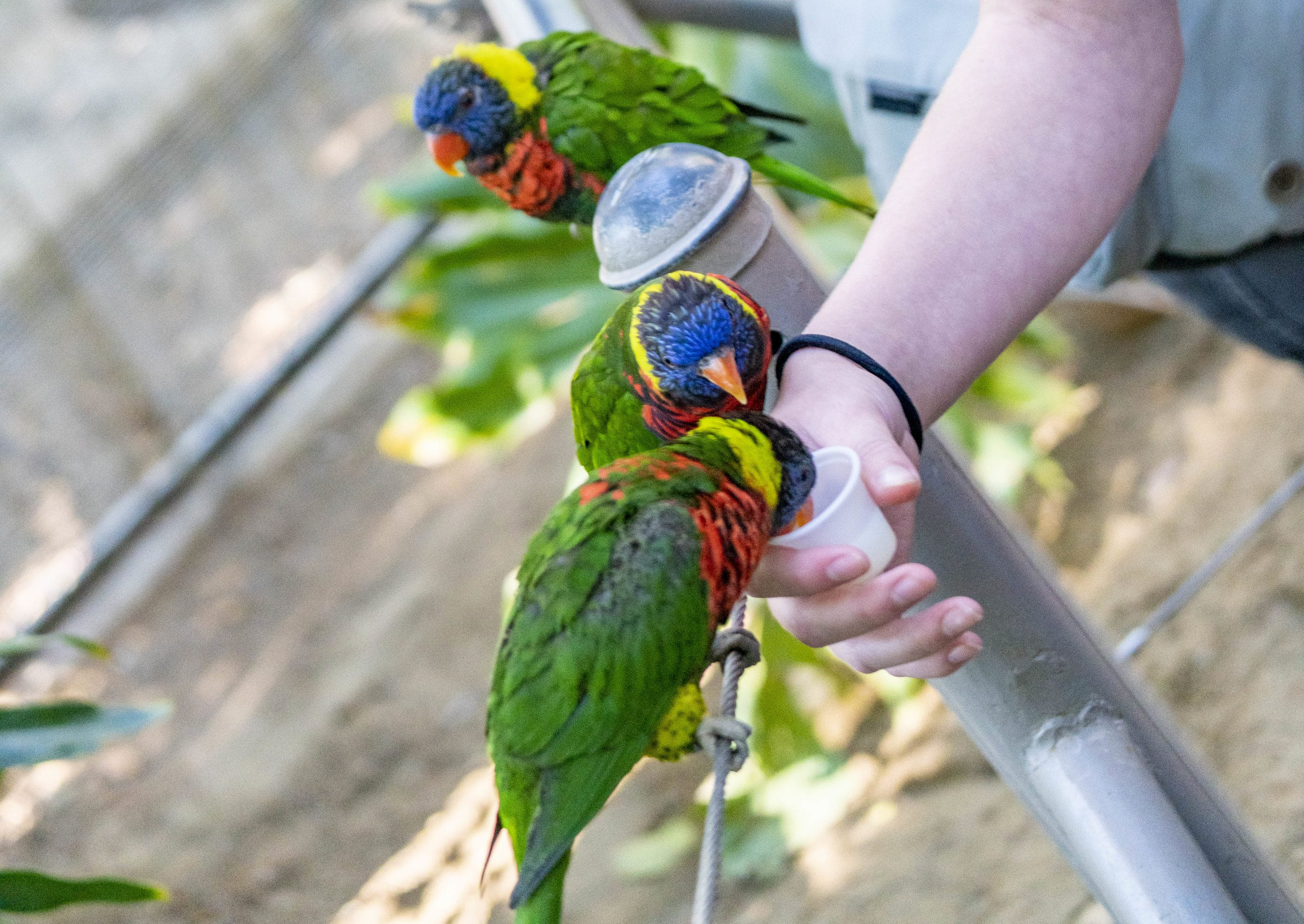 Two lorikeets try to feed from a small cup of nectar that my daughter is holding.