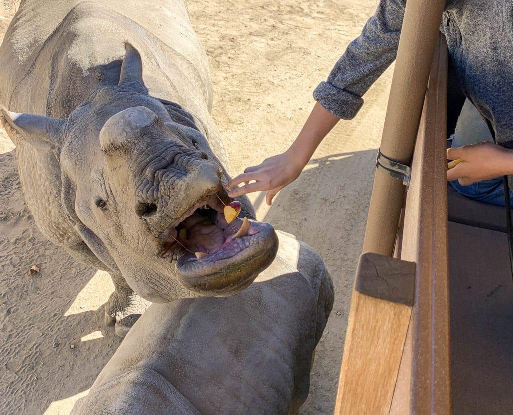 Feeding a rhino on Caravan Safari at San Diego Zoo Safari Park.