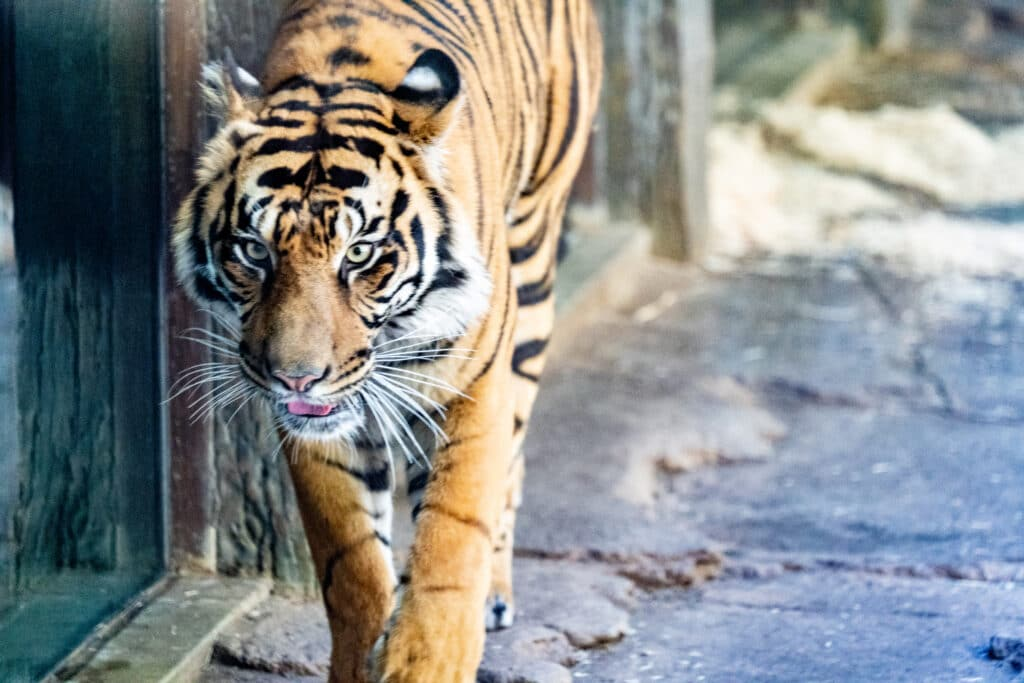 This image has an empty alt attribute; its file name is san-diego-safari-park-tigers-1024x683.jpg