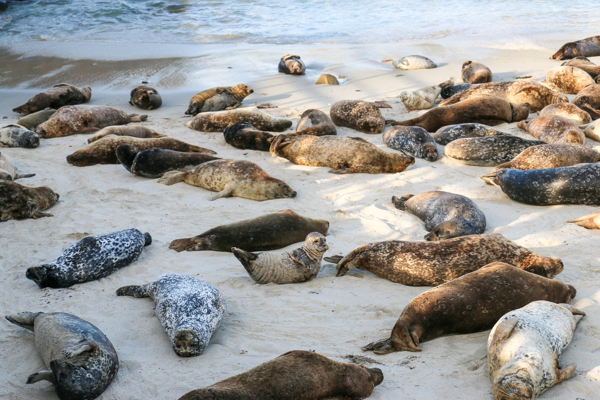 A baby seal perks its head up while others slumber on the sand around it.