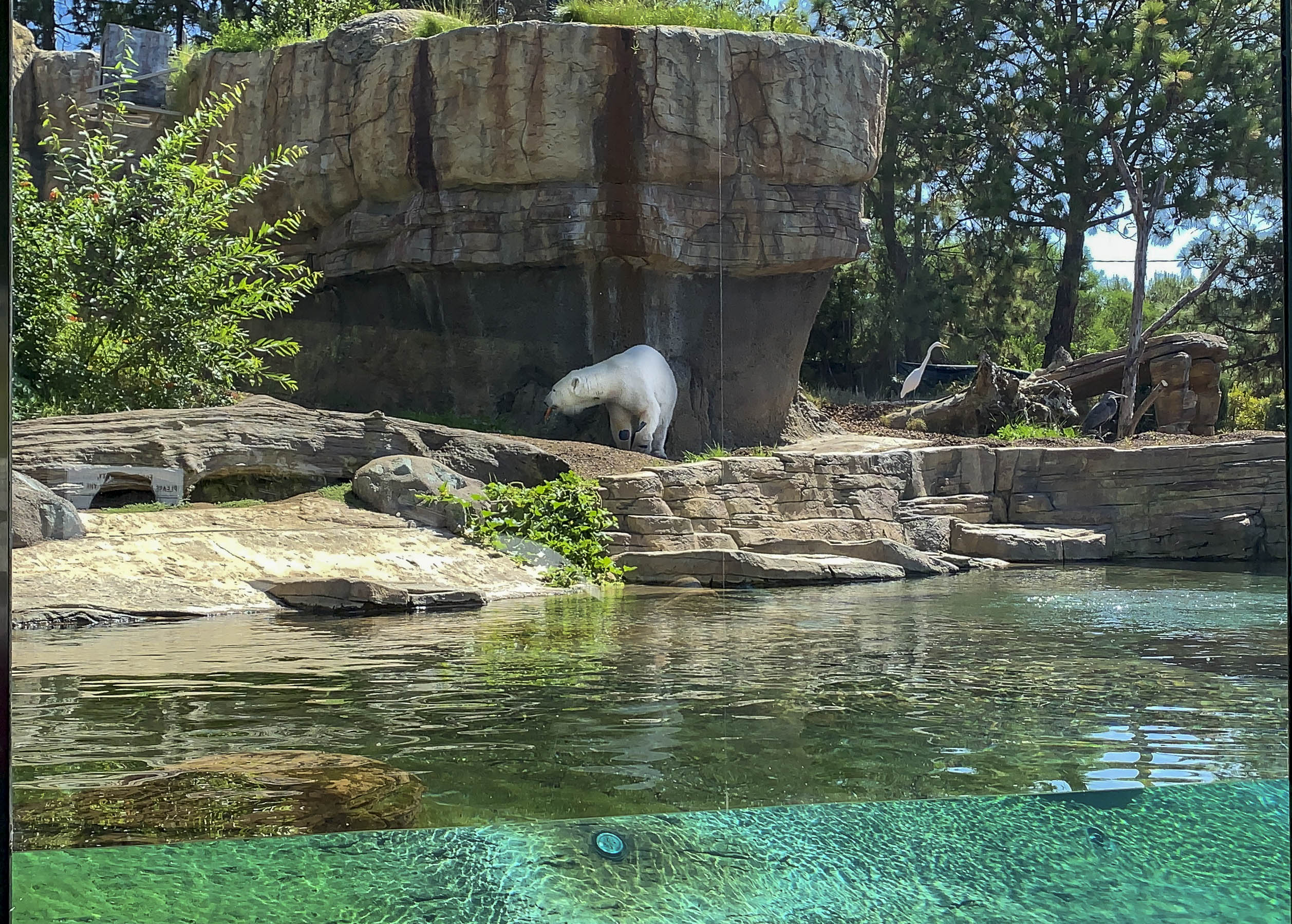 A polar bear, one of the most popular San Diego Zoo animals, eats a carrot in the shade.