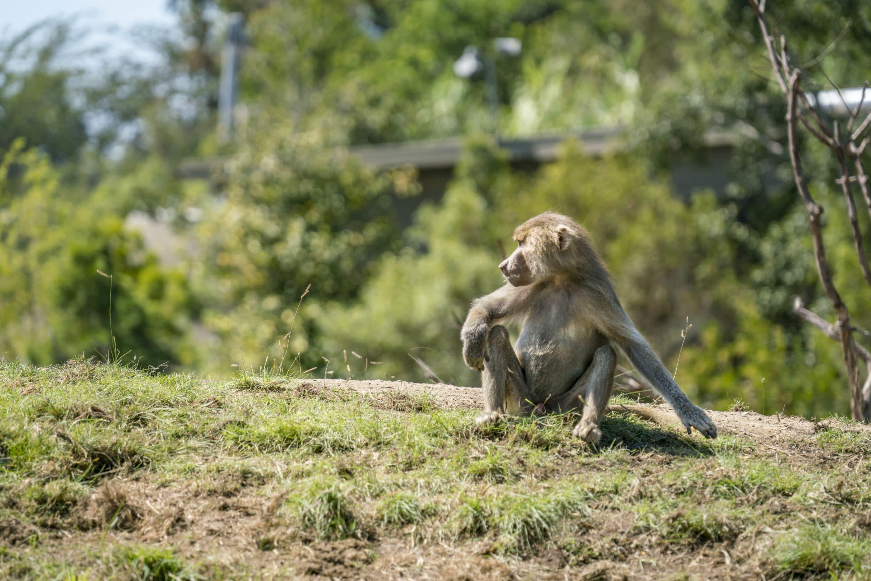 Un chimpanzé est assis dans l'herbe au zoo de San Diego.