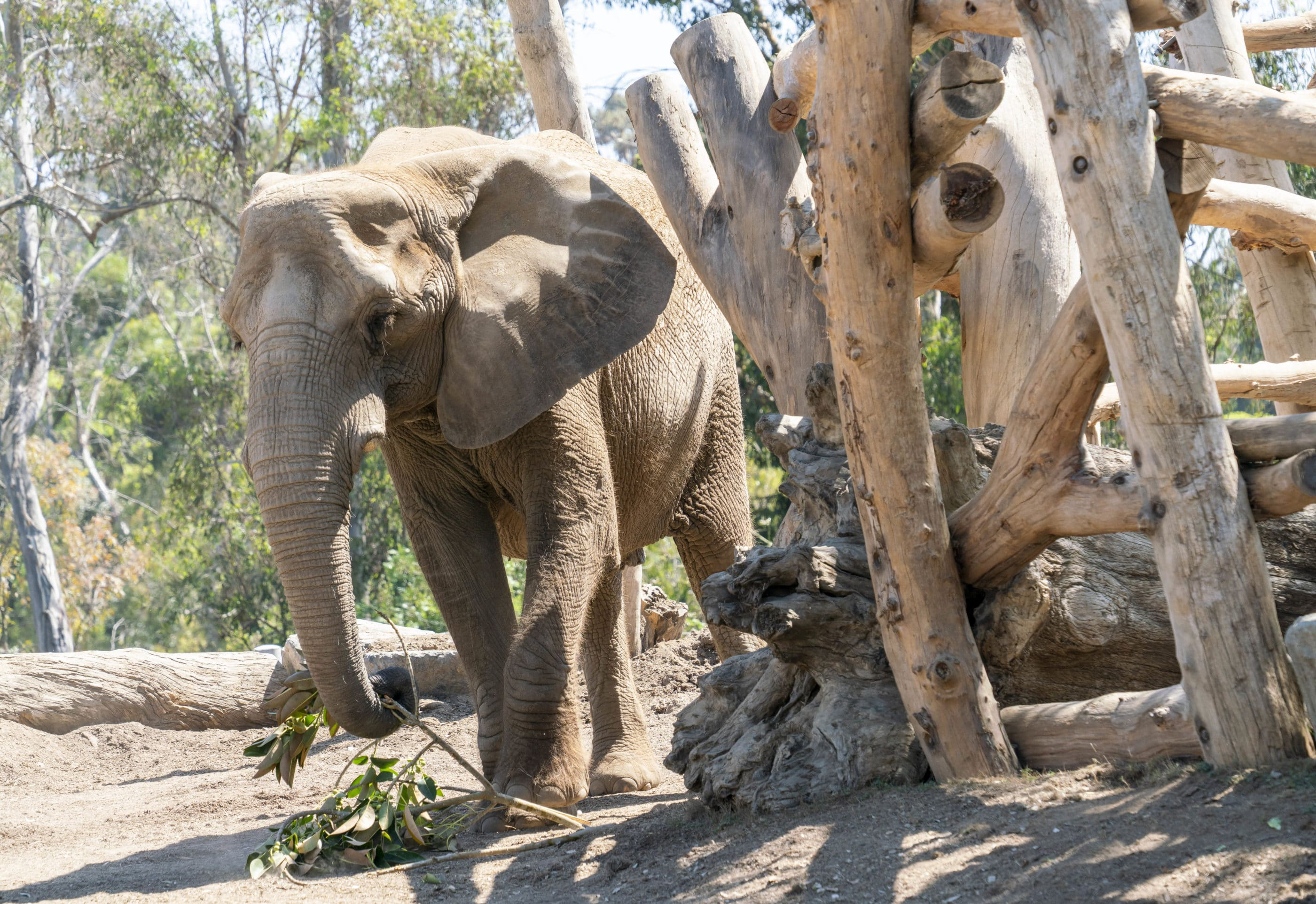 An elephant inside Elephant Odyssey at San Diego Zoo holds a tree branch in its trunk.