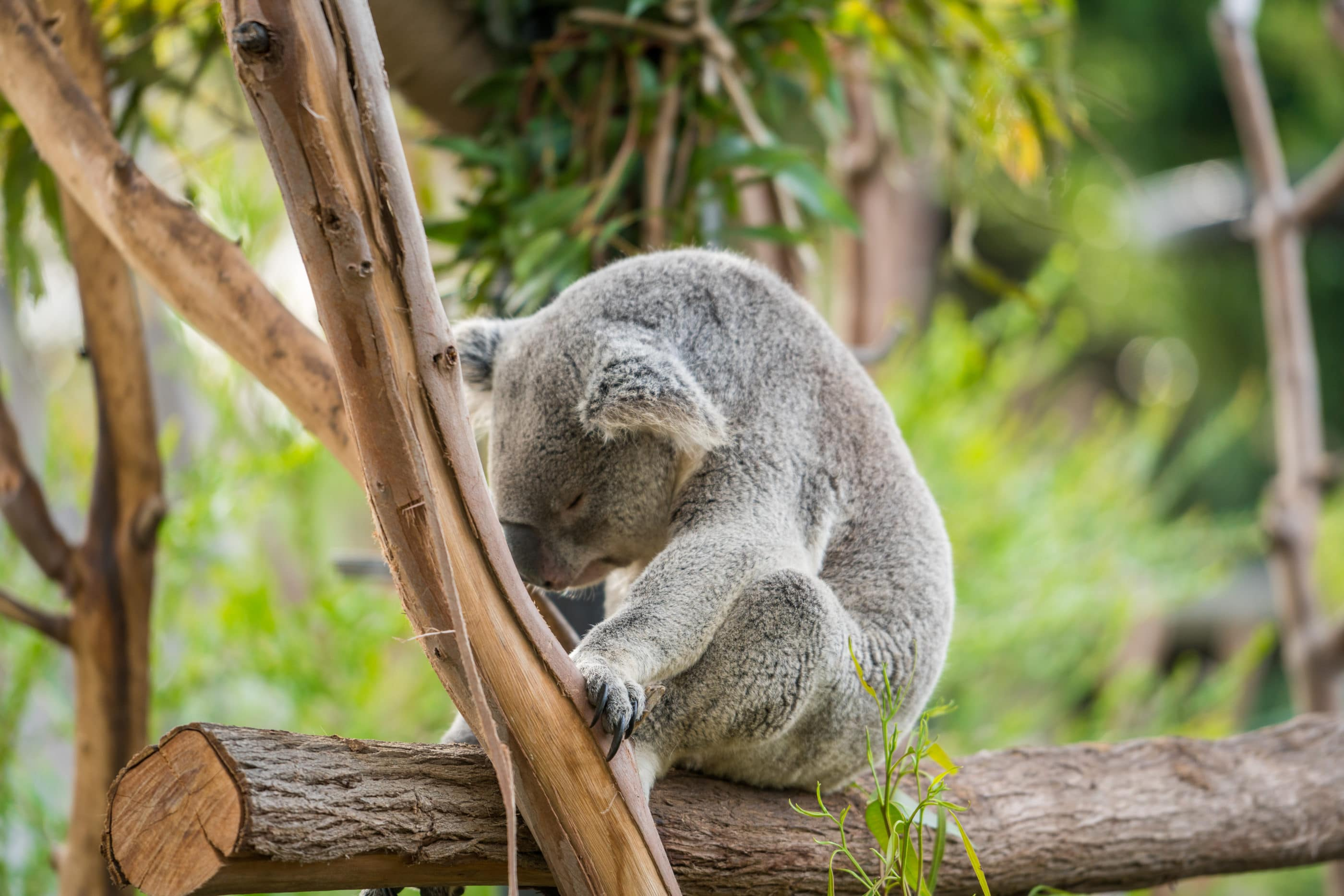 A koala in a tree, a popular sight at San Diego Zoo for kids.