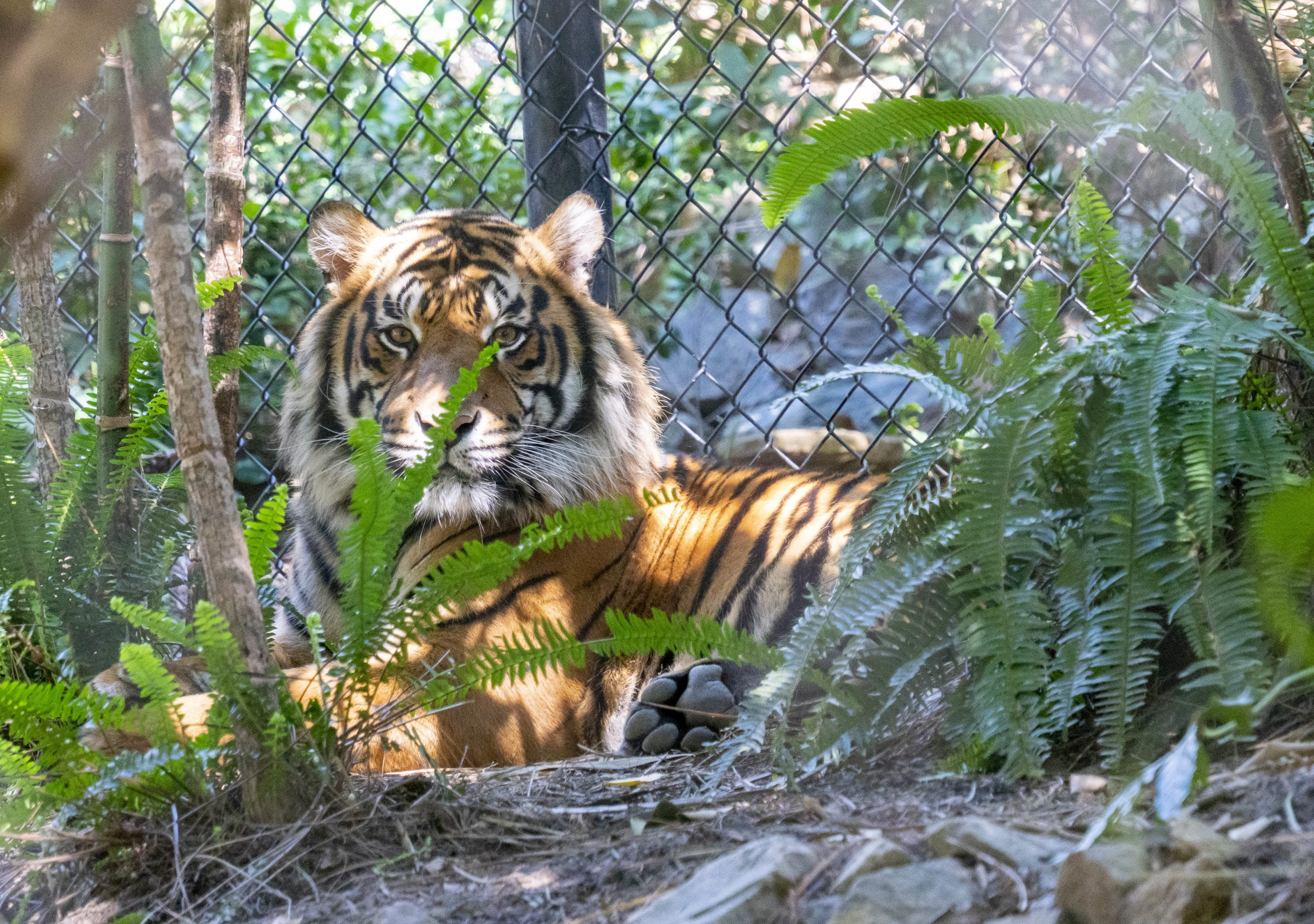 A tiger relaxes in the shade at Tiger Trail inside San Diego Zoo Safari Park.
