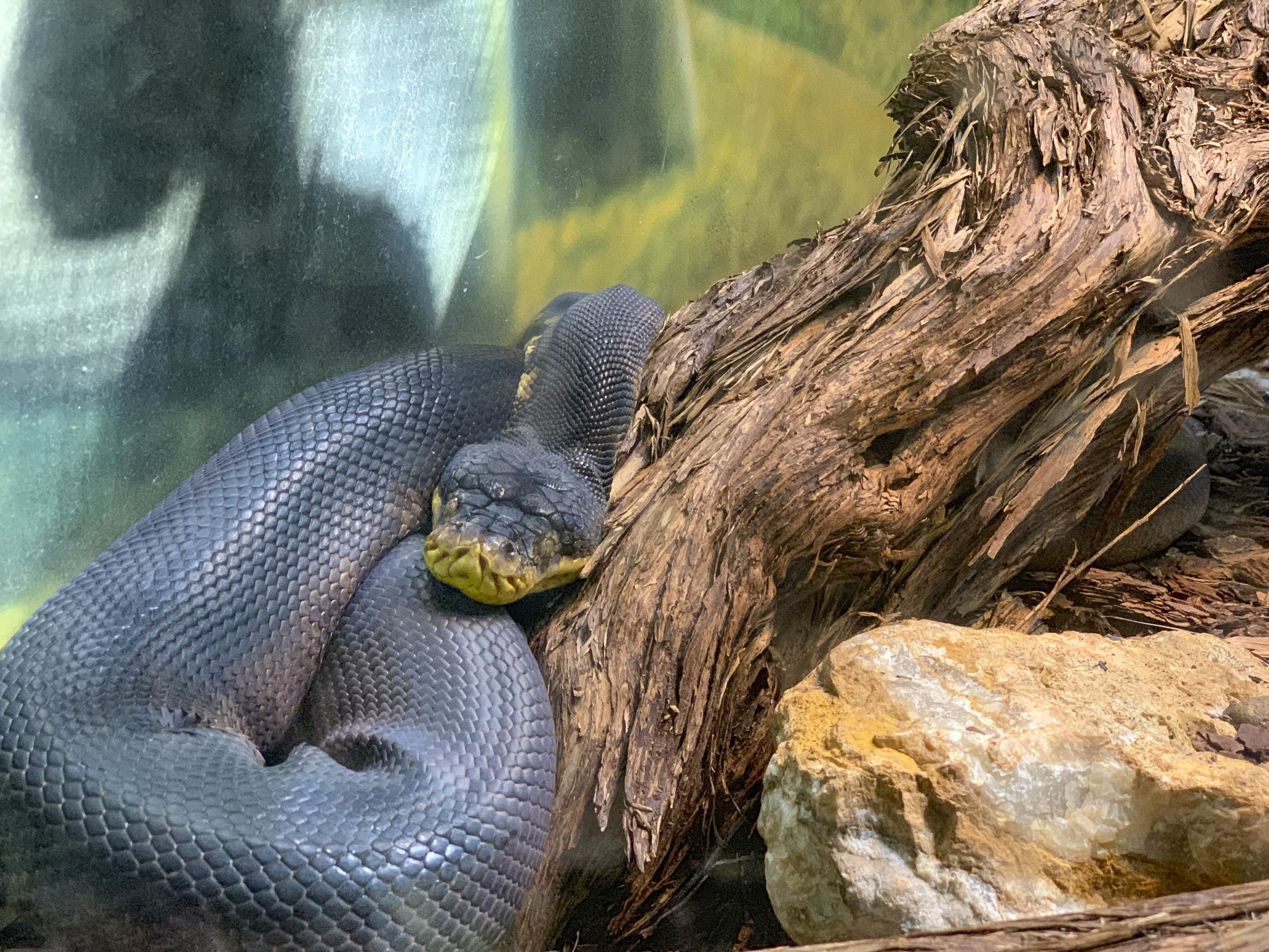 A snake rests on a log inside its Reptile House enclosure at San Diego Zoo.
