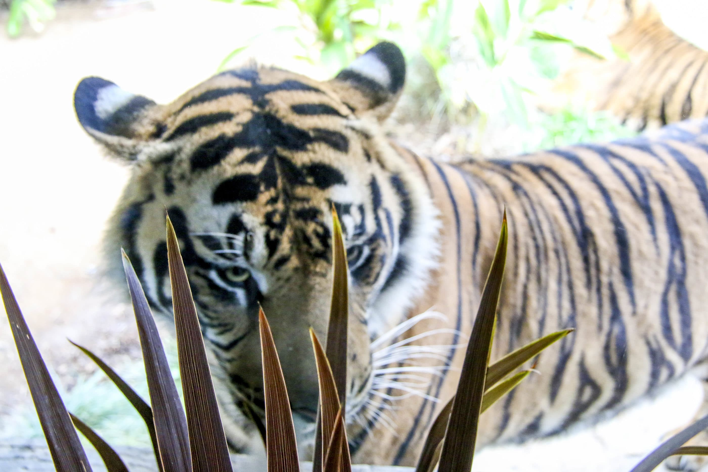 A Sumatran tiger looks through the window at The Sambutan Longhouse.