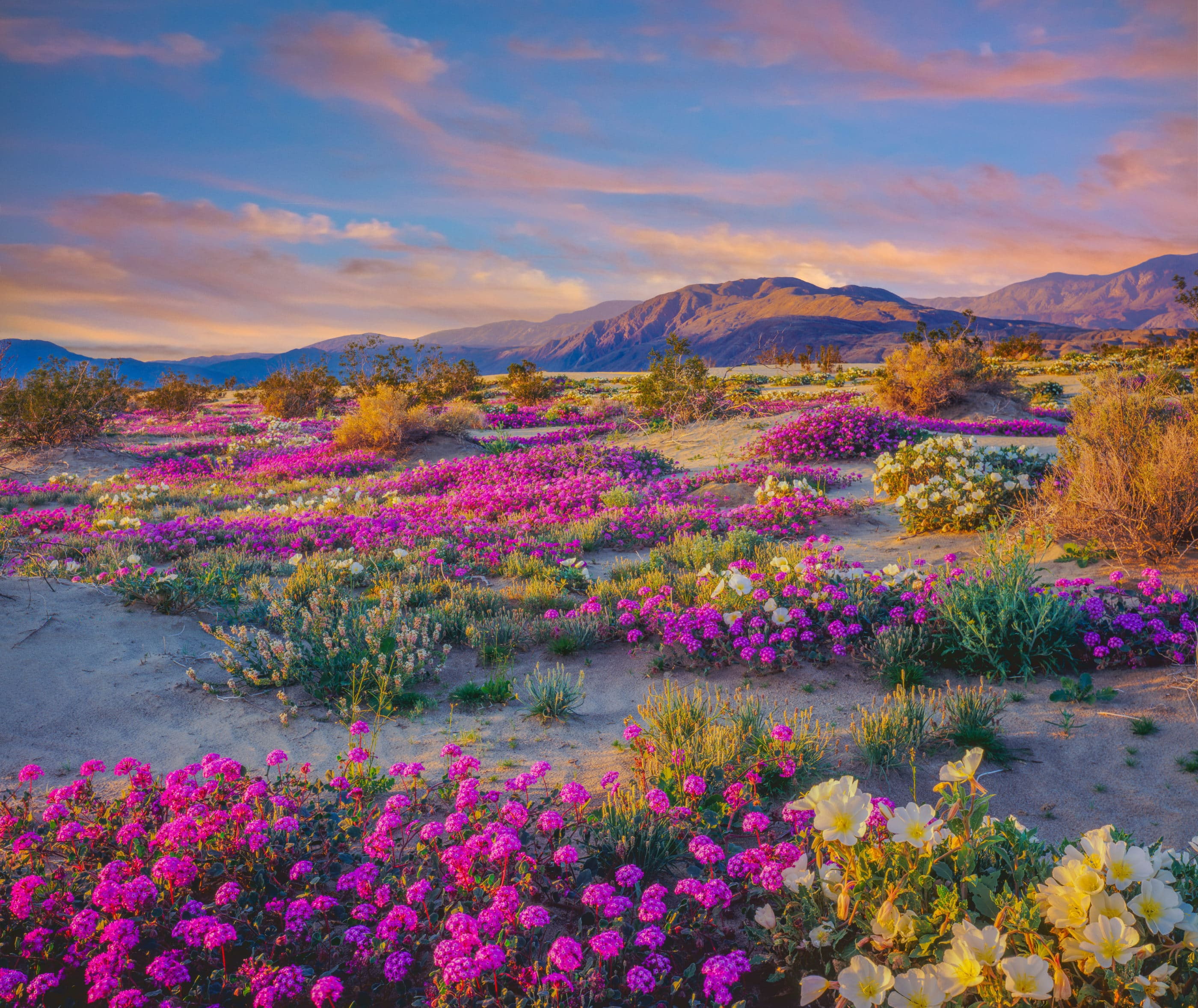 A field of pink wildflowers — viewing them is one of the top things to do at Anza-Borrego Desert State Park in the spring.