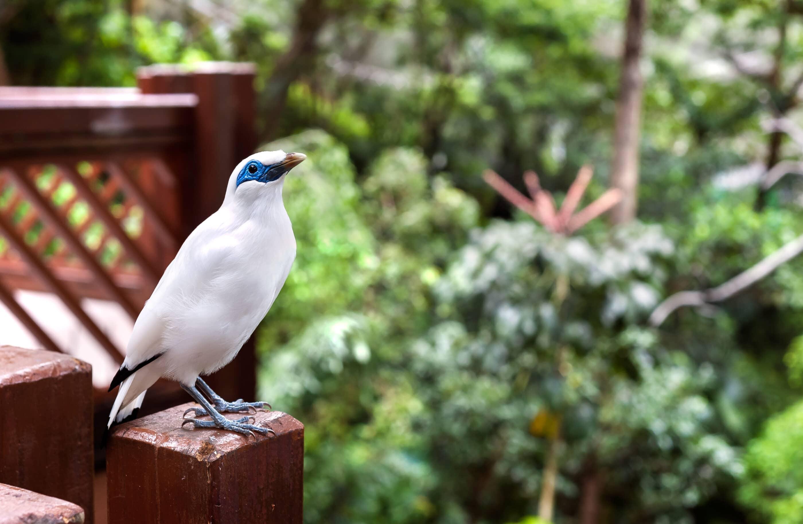 Bali Mynah bird stands on a wooden post at the Edward Youde Aviary, Hong Kong Park