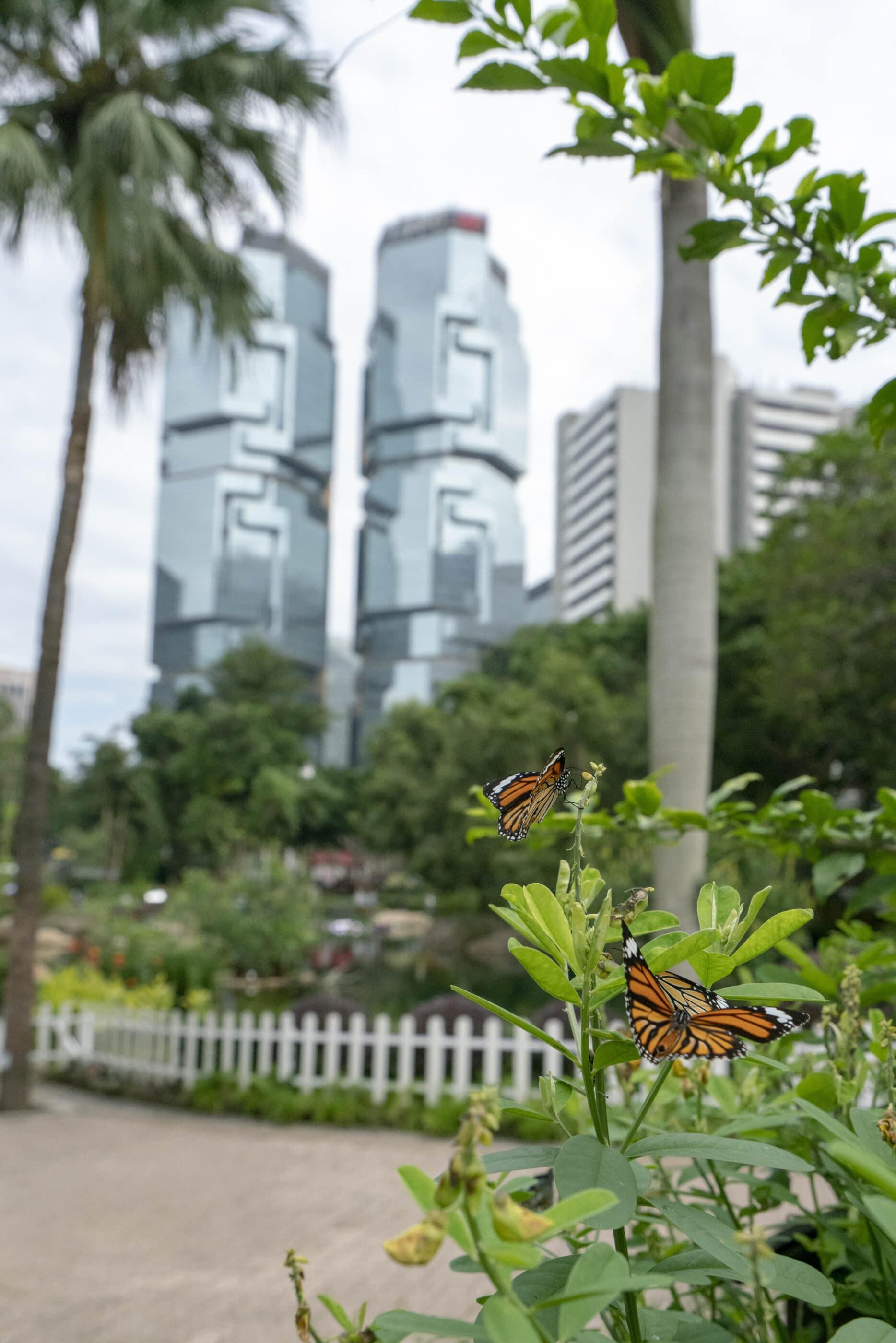 Monarch butterflies enjoy the butterfly garden in Hong Kong Park.