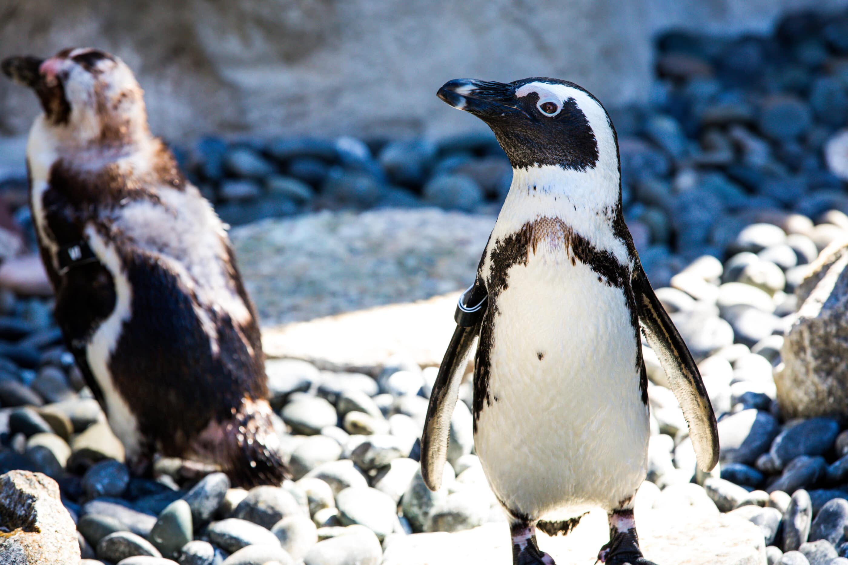 A close-up of an African penguin on its cobblestone beach.