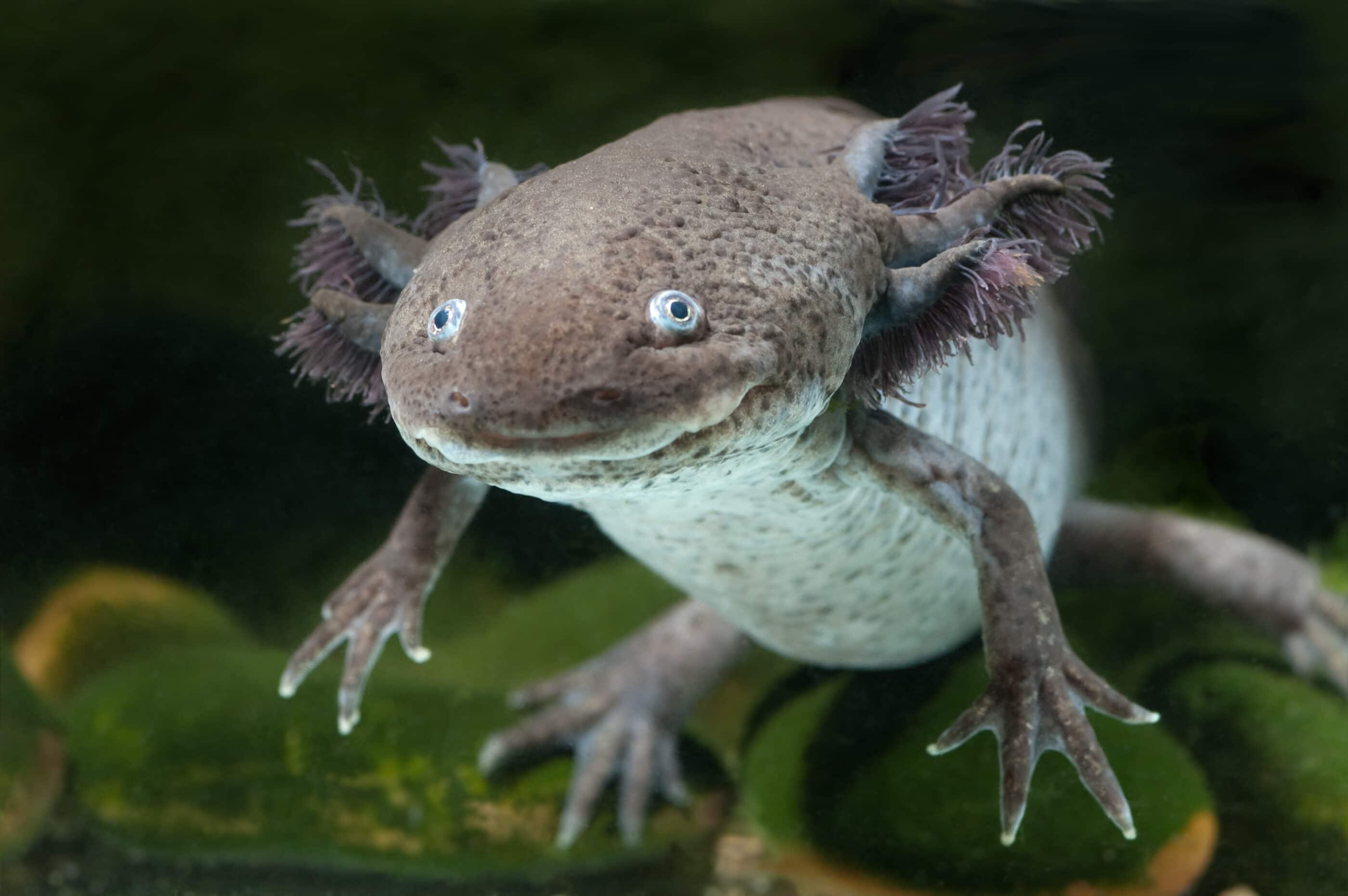 An axolotl swims in an aquarium.