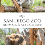 A member shares favorite San Diego Zoo animals and attractions from endangered okapis to koalas. Knowing the highlights will help you maximize your visit.