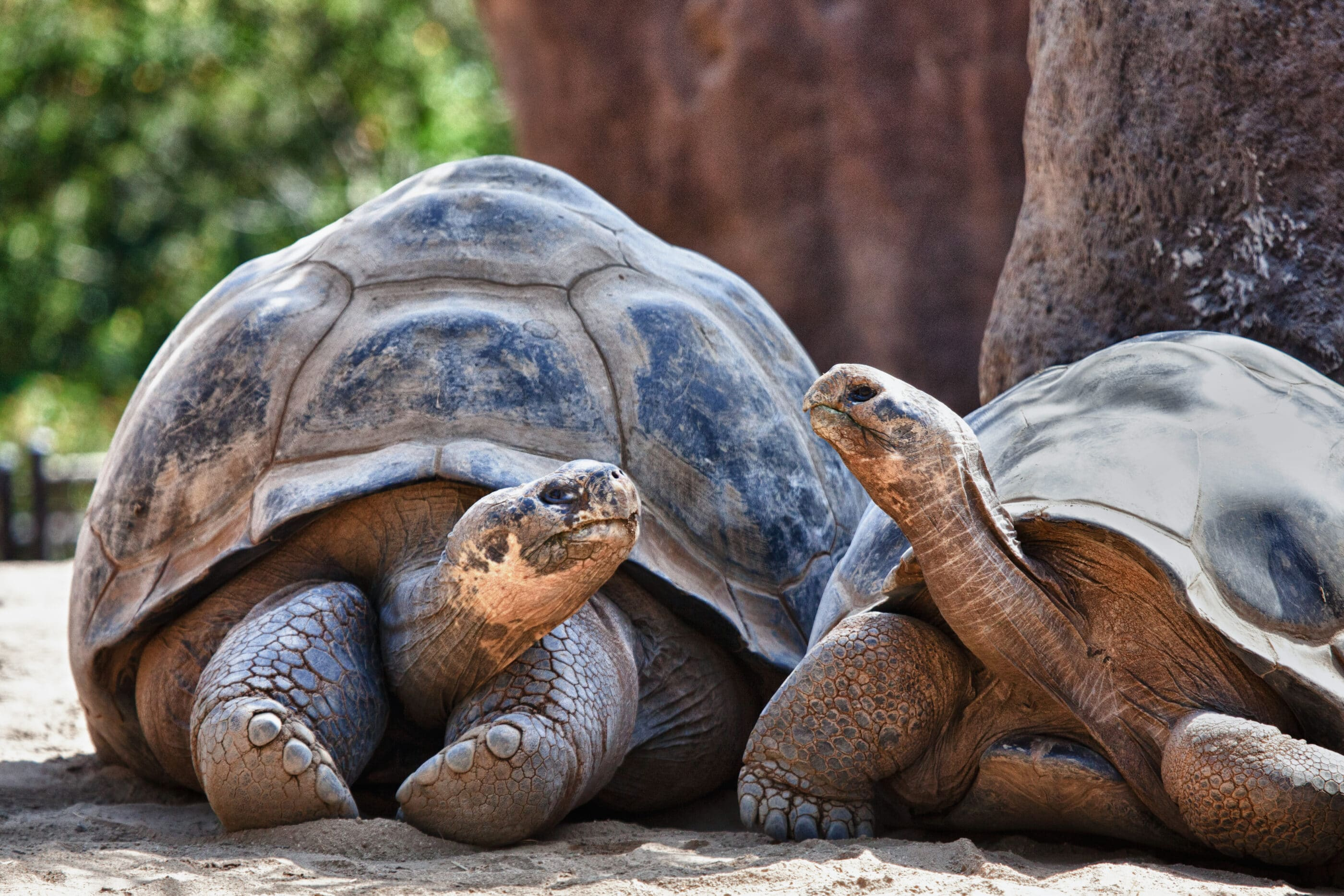 To Galapagos tortoises look at each other in their habitat.