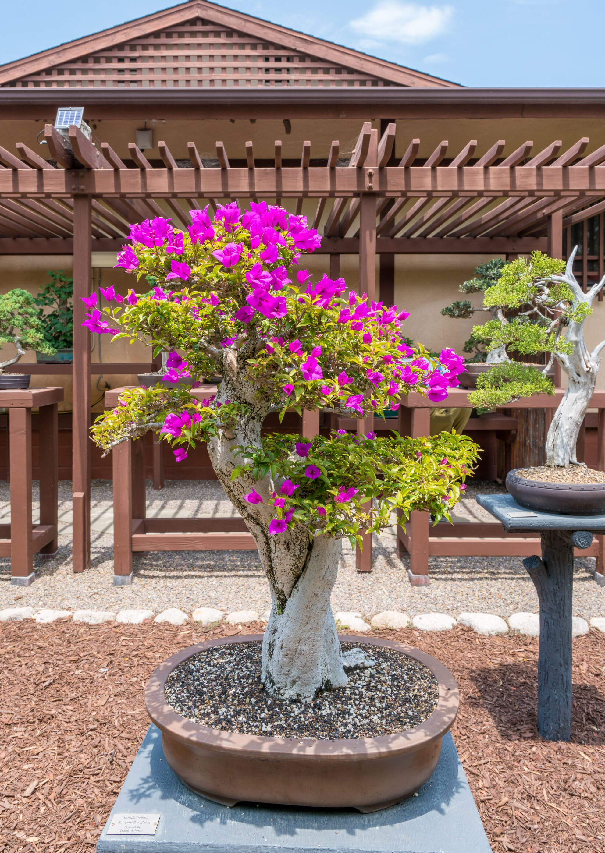 A bonsai with pink flowers on display.
