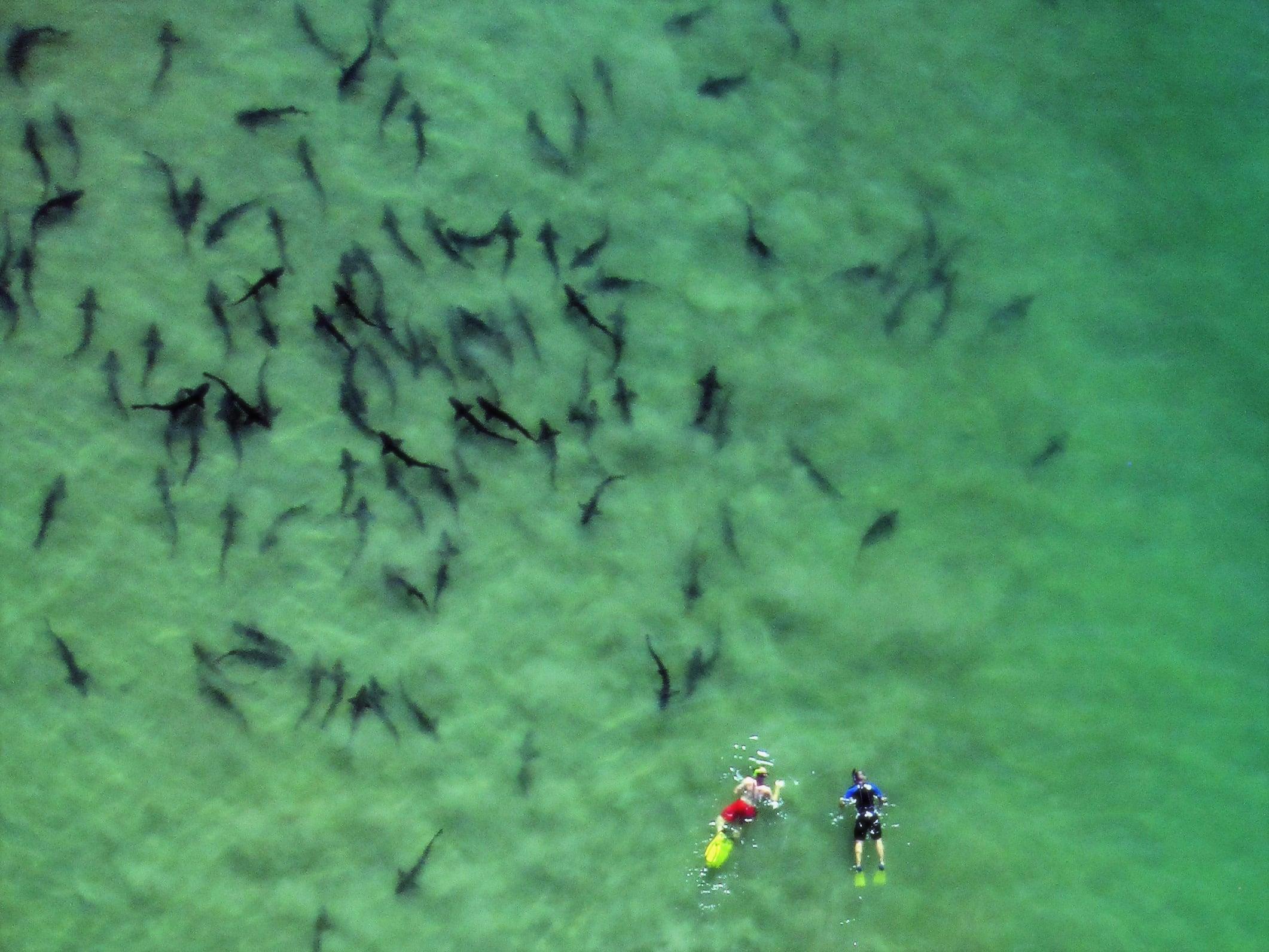 Two snorkelers swim with leopard sharks in La Jolla.