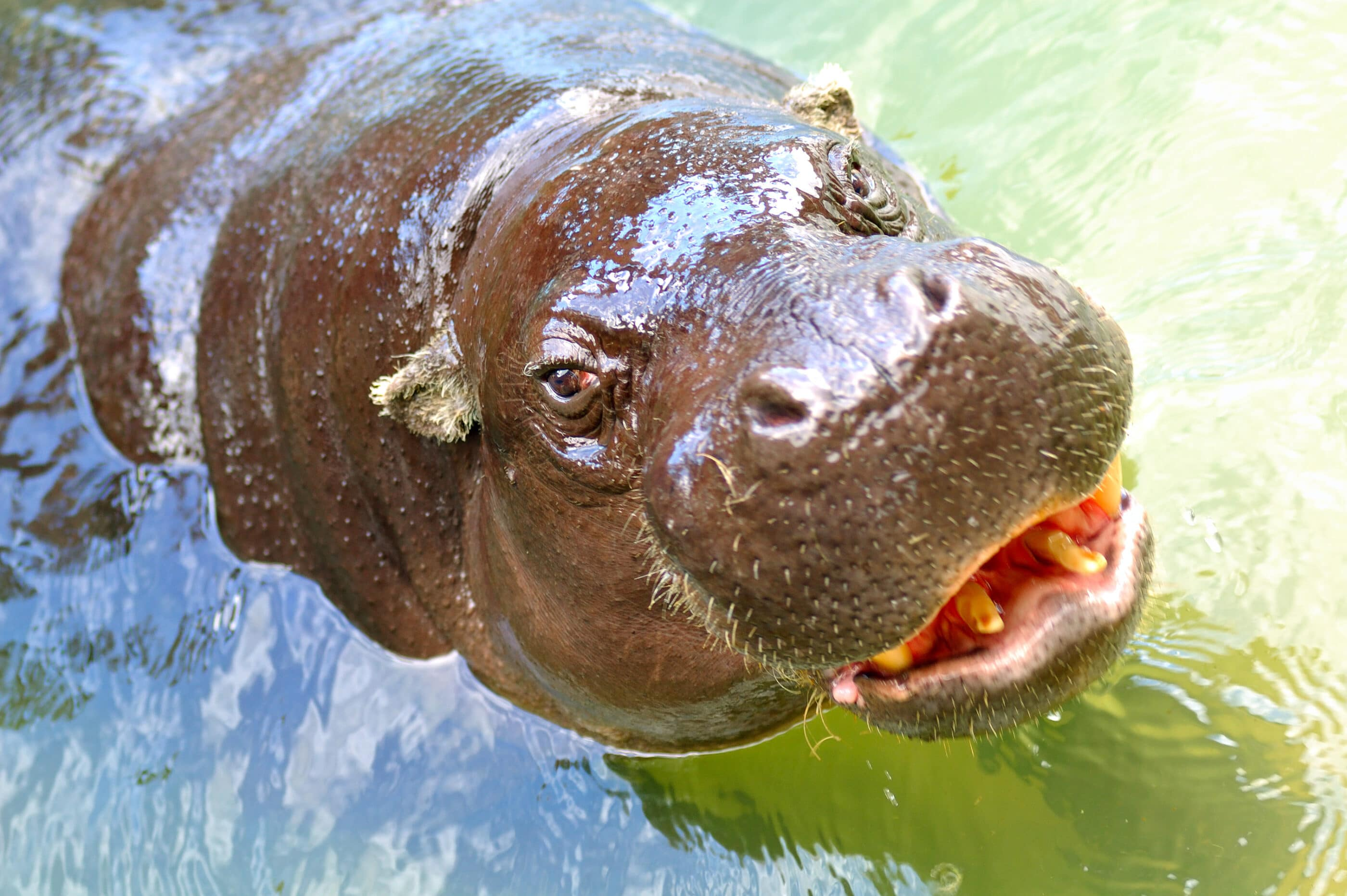 A pygmy hippo looks directly into the camera while in the water.