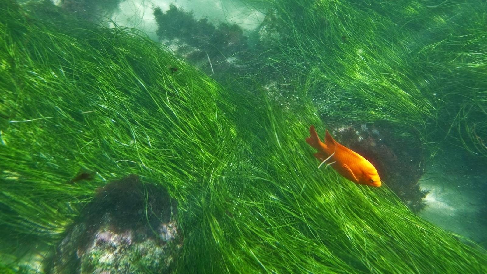A Garibaldi fish swims through seagrass in the La Jolla Underwater Park.