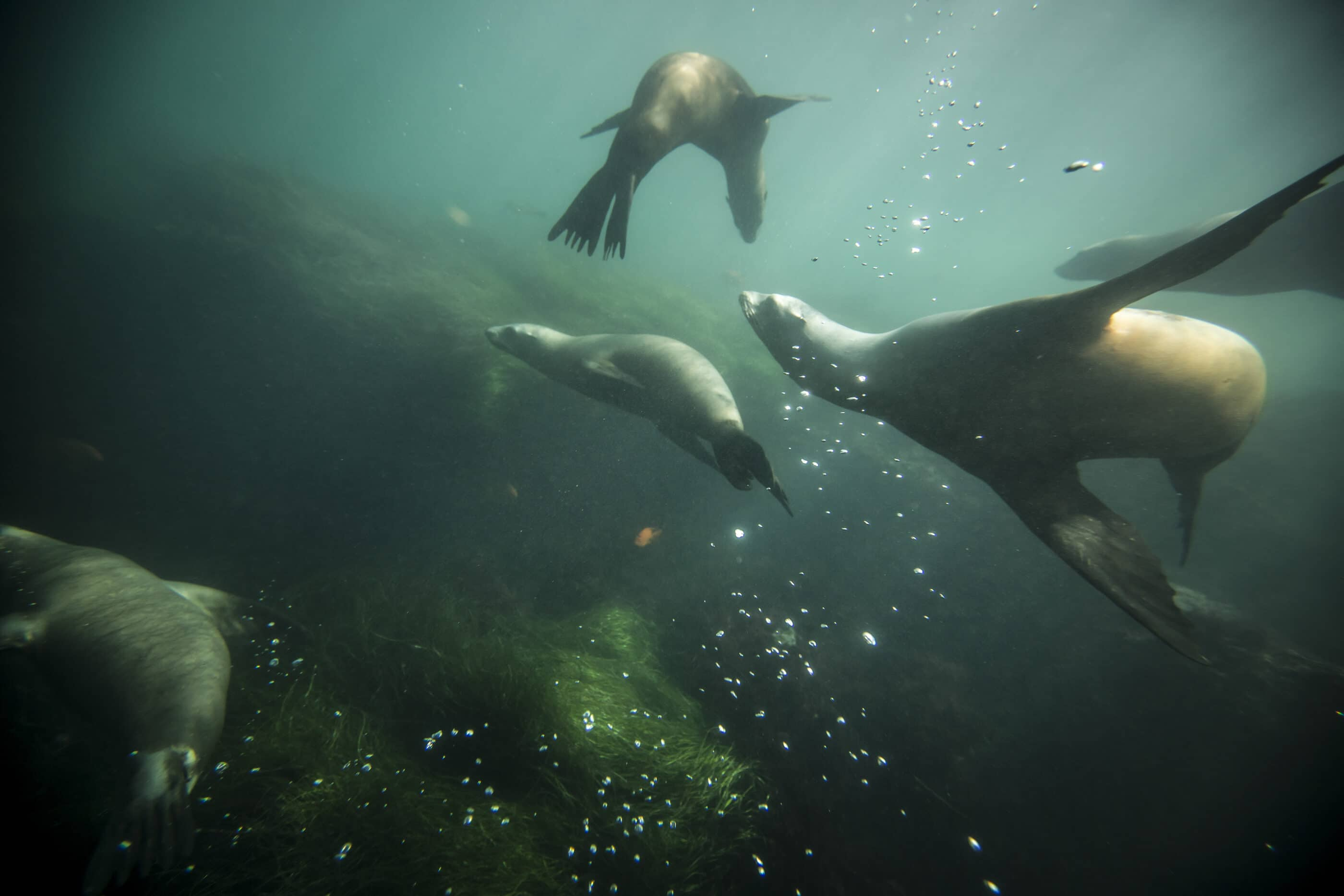 Sea lions swim underwater in La Jolla