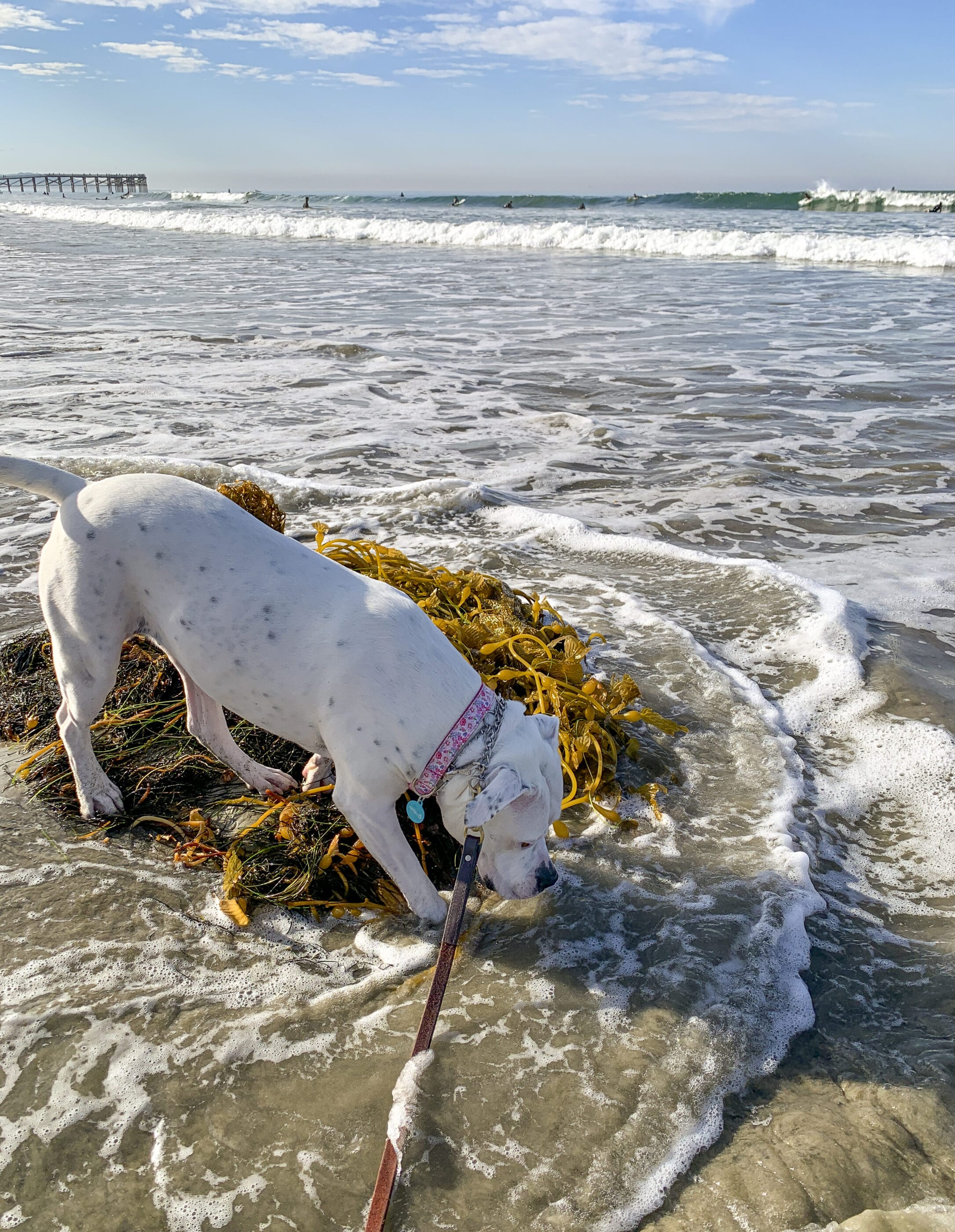 My dog sniffs seaweed on Pacific Beach in San Diego.
