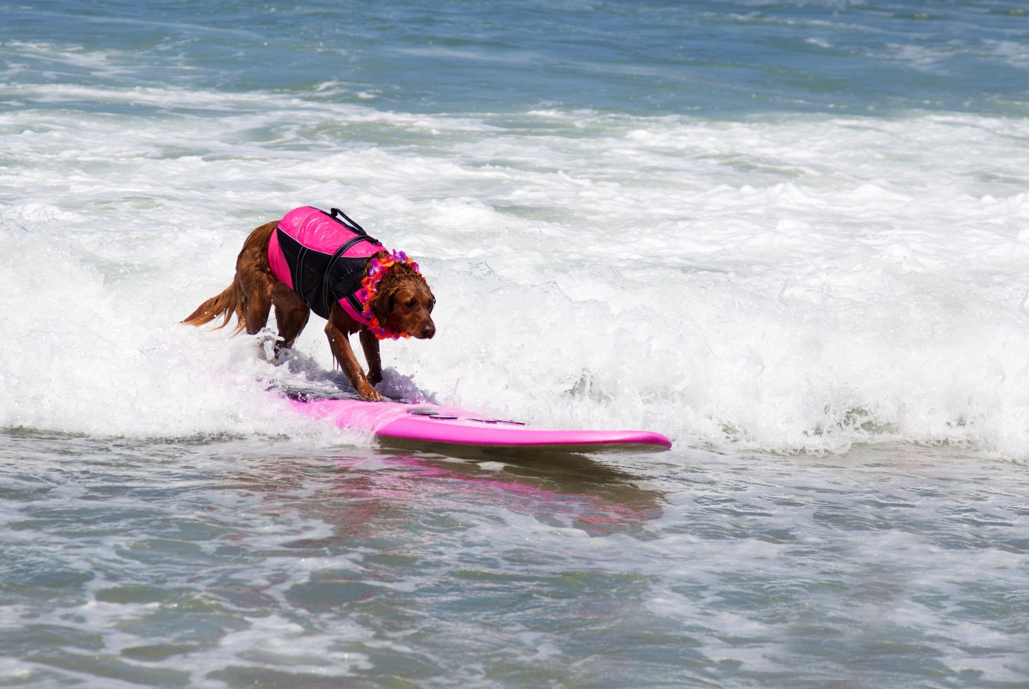 An Irish Setter wearing a pink life jackets surfs on a pink board.