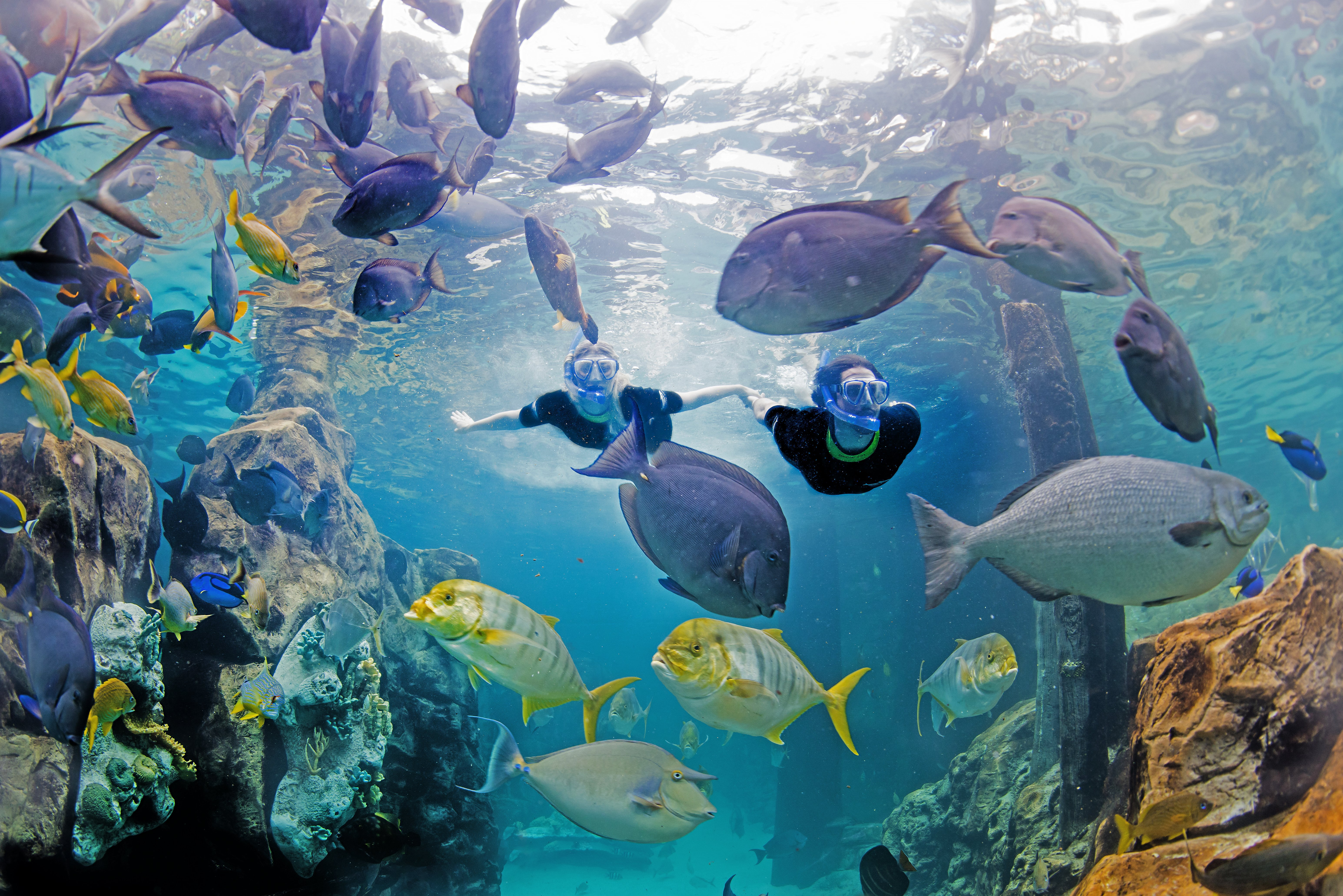 Two snorkelers swim through tropical fish in the Grand Reef at Discovery Cove.