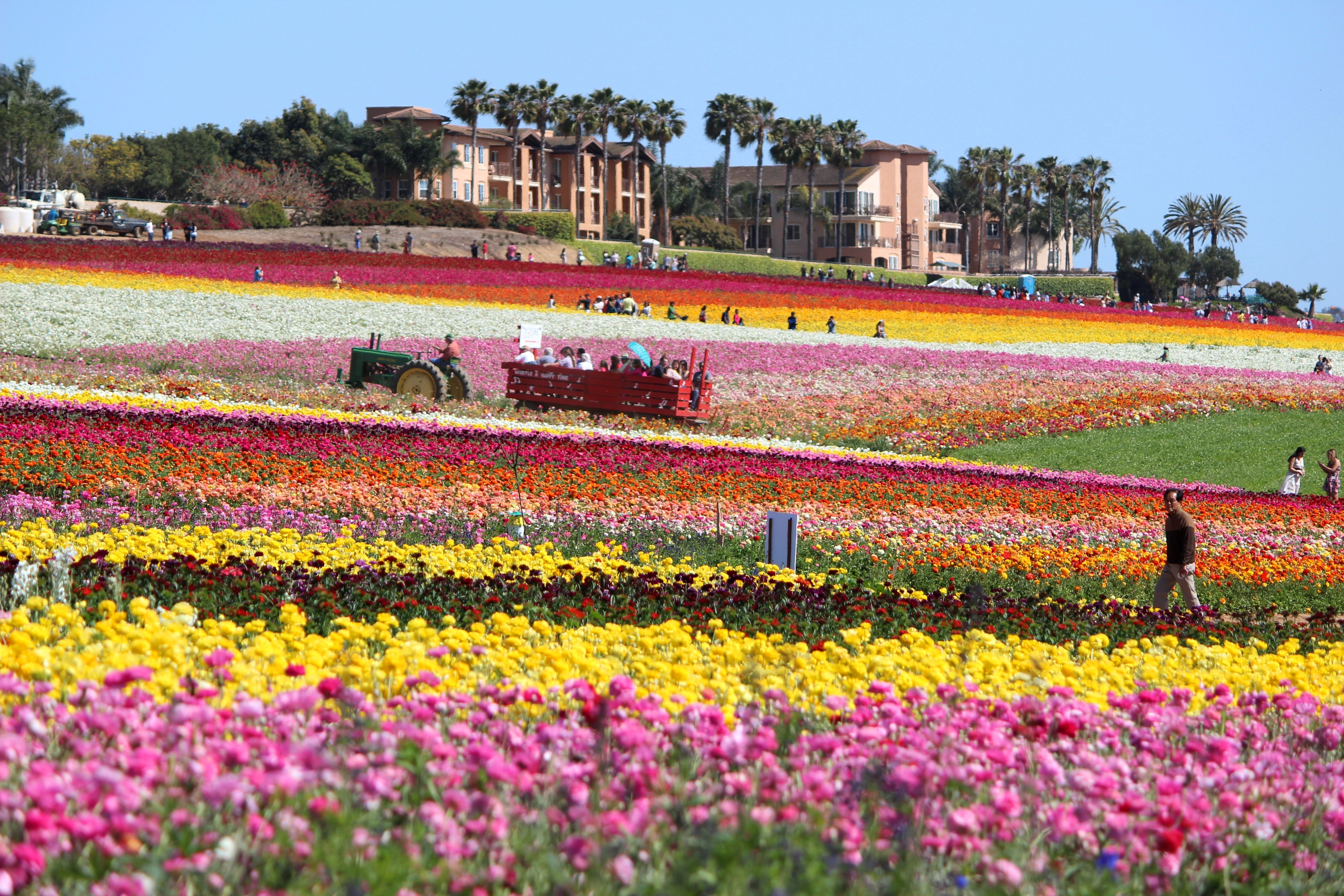People walk through The Flower Fields at Carlsbad Ranch on a sunny day.