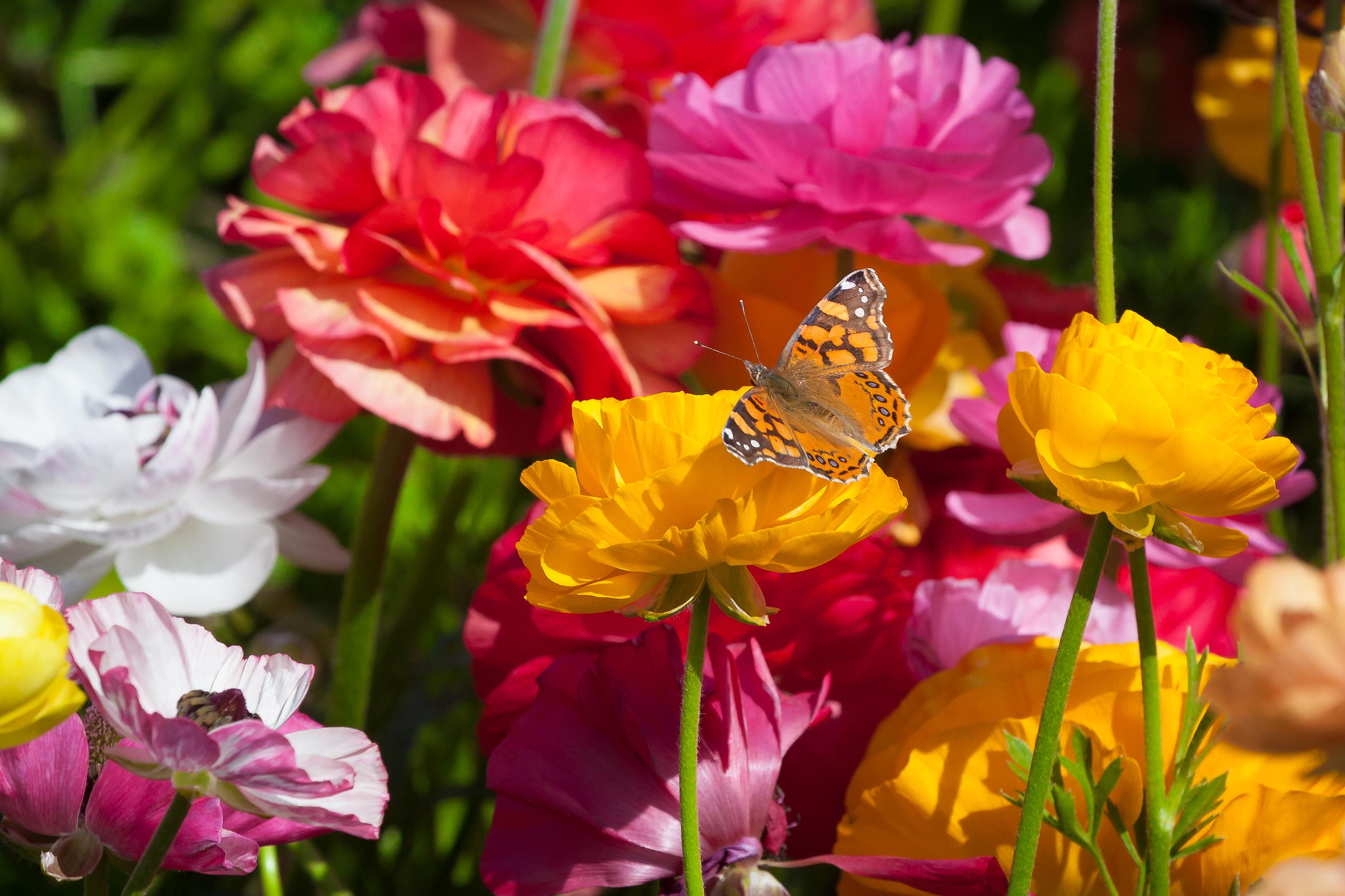 A butterfly lands on a yellow ranunculus flower.