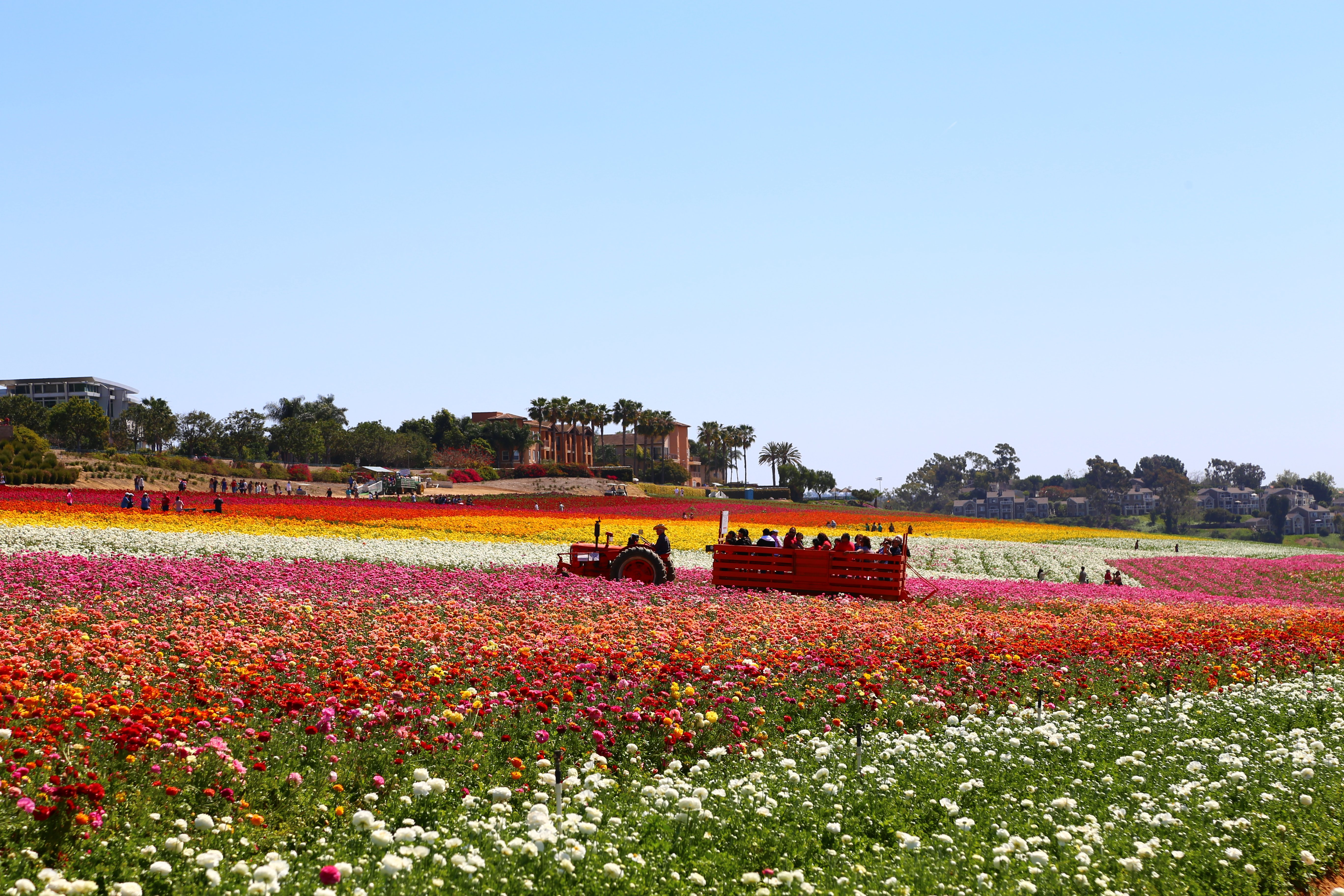 The antique tractor pulls a wagon full of guests through the ranunculus flowers.