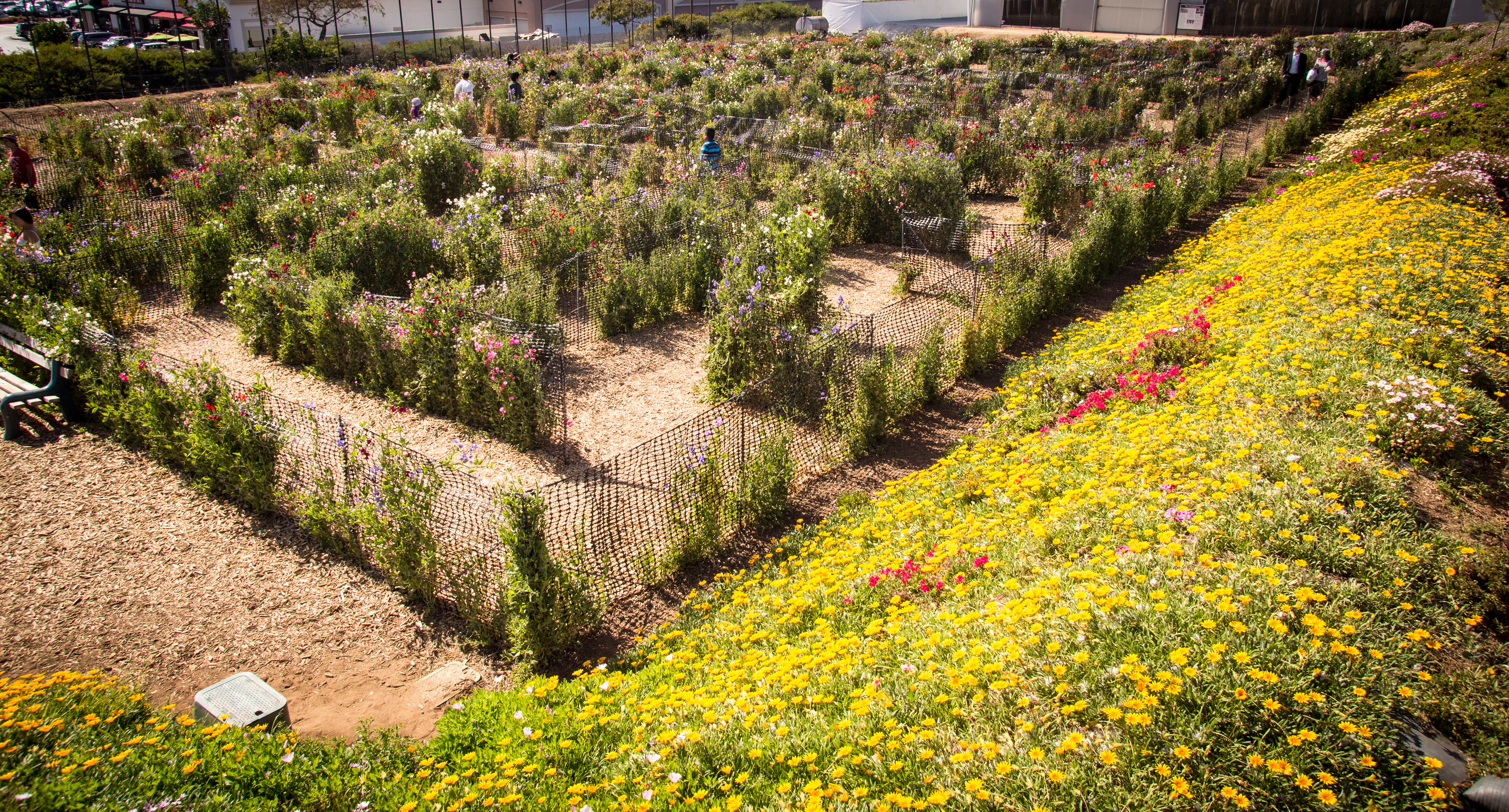 Children navigate the maze of sweet pea plants and flowers at Carlsbad flower fields.