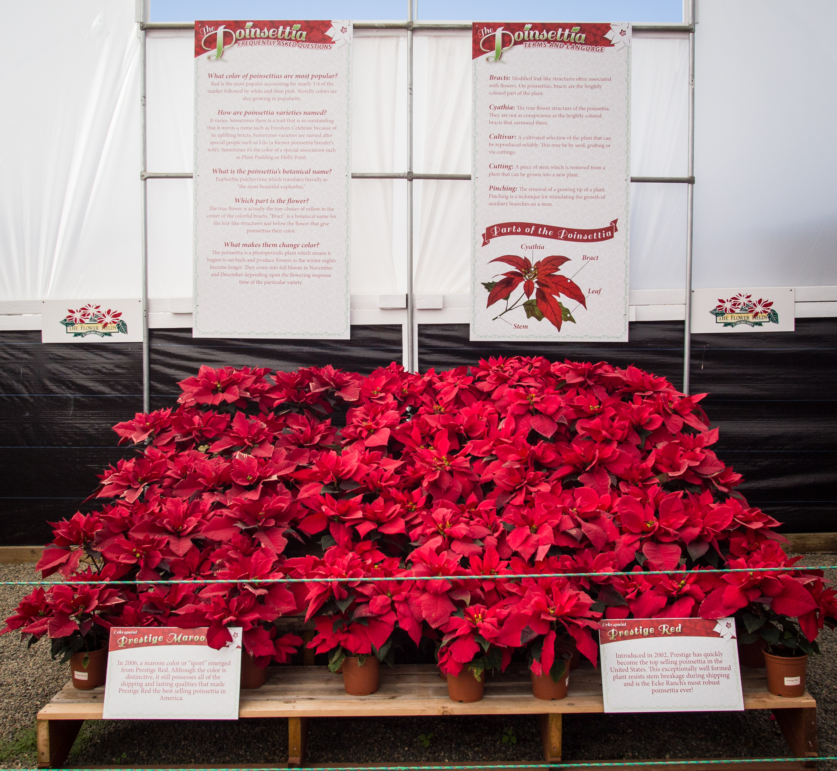 A display of potted poinsettias with FAQs listed above them.