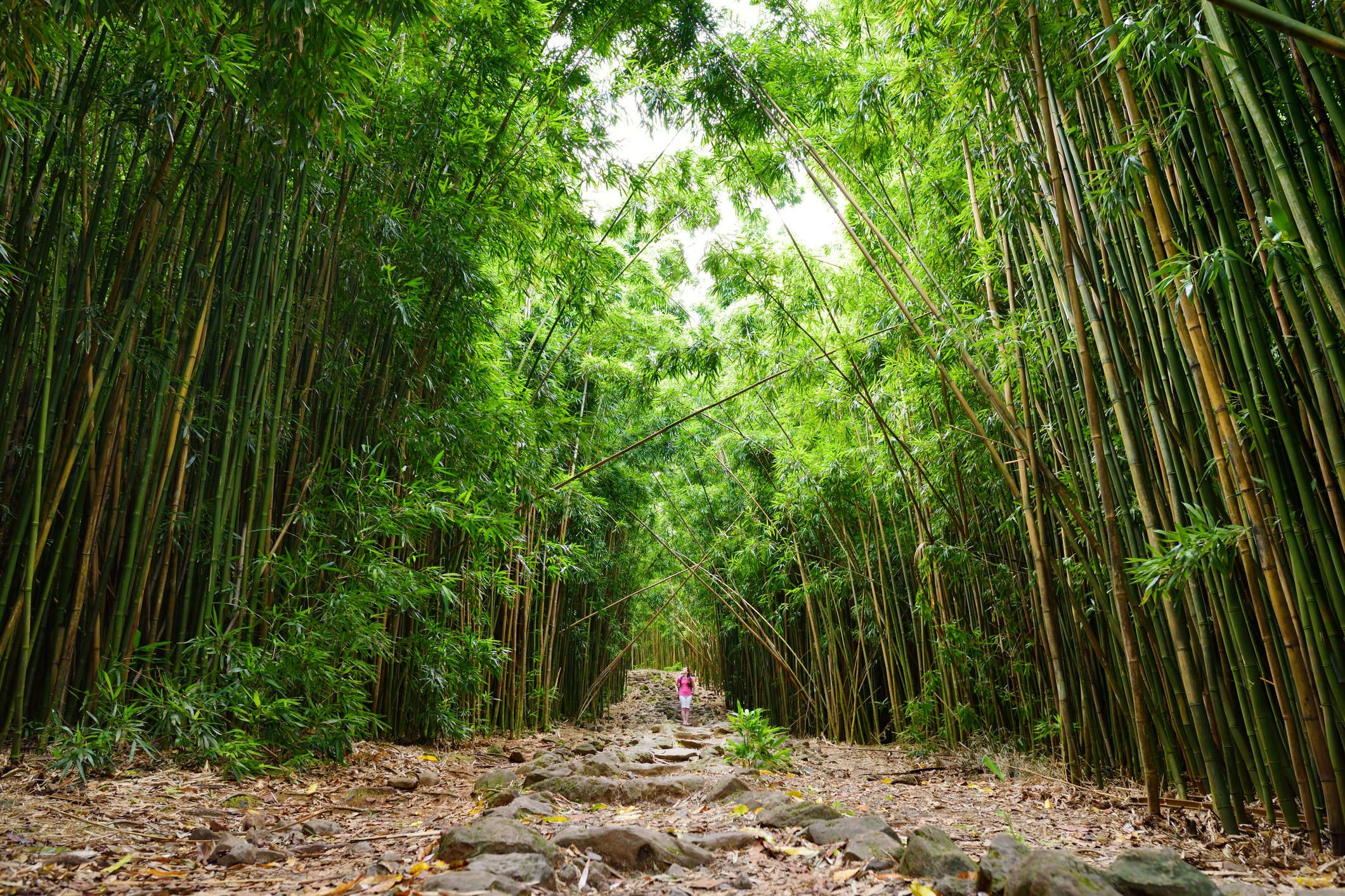 A woman stands on a rocky path underneath the massive bamboo.