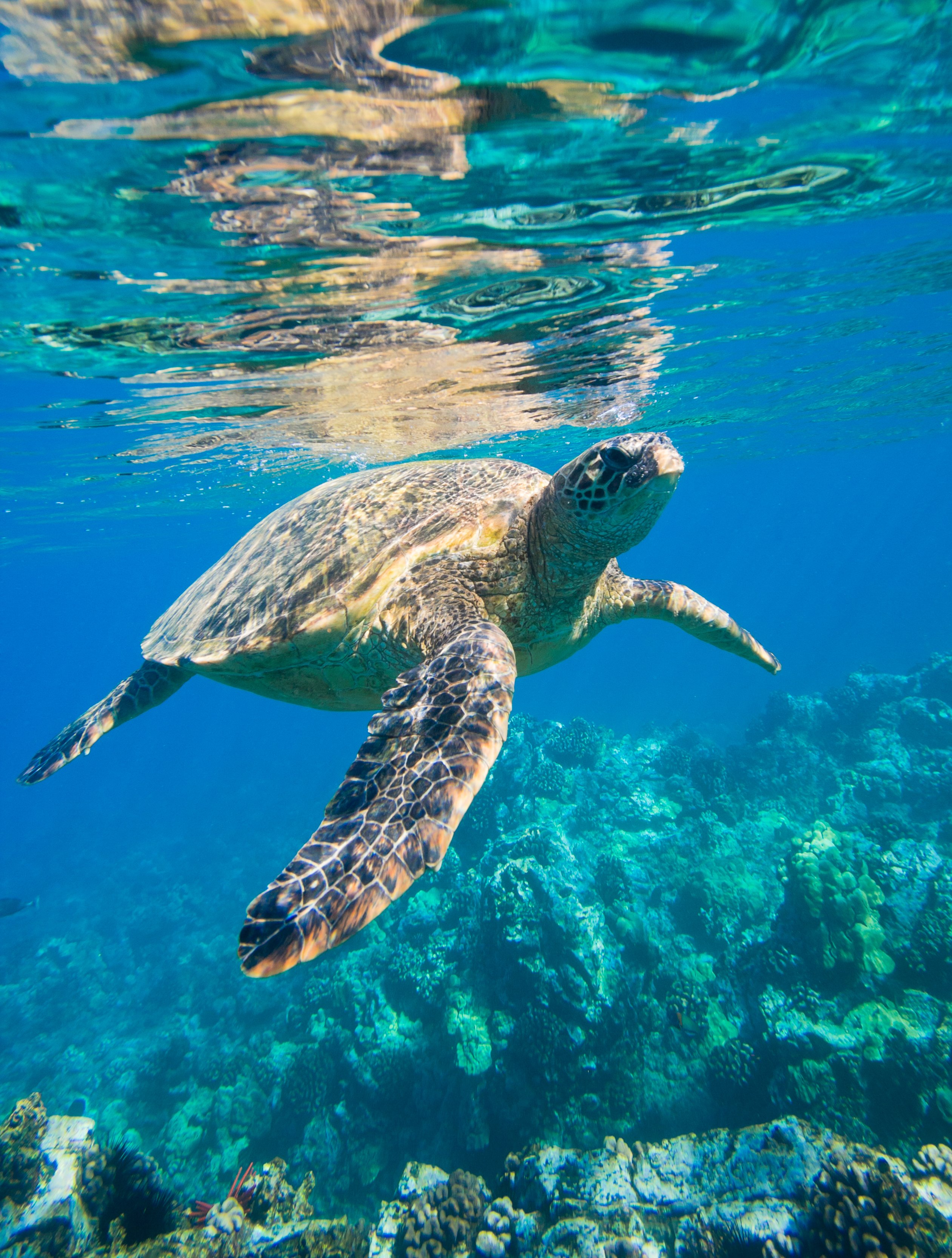 A Hawaiian green sea turtle swims in the ocean in Maui.