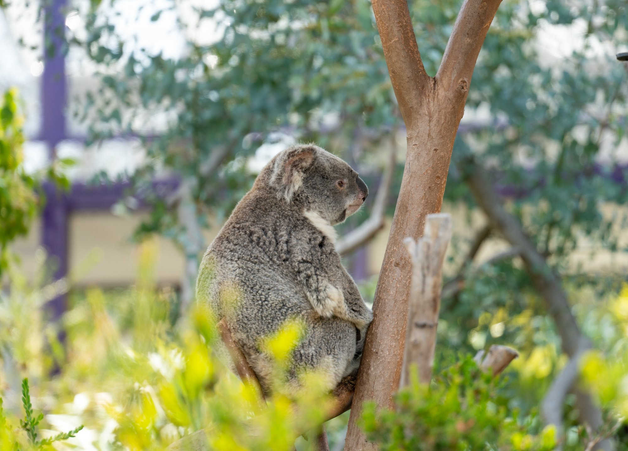A koala sits in a tree at San Diego Zoo.
