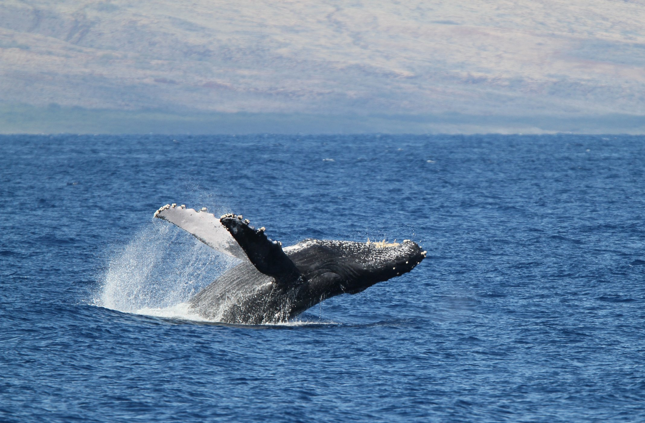 A humpback whale breaches out of the ocean in Maui.