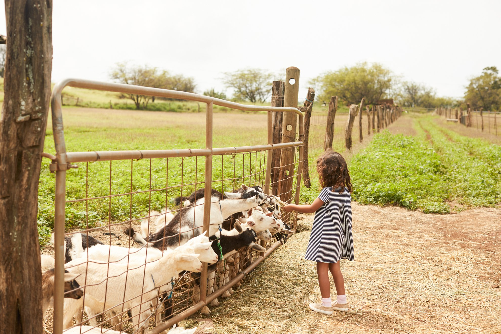 A little girl feeds pygmy goats at Surfing Goat Dairy Farm.