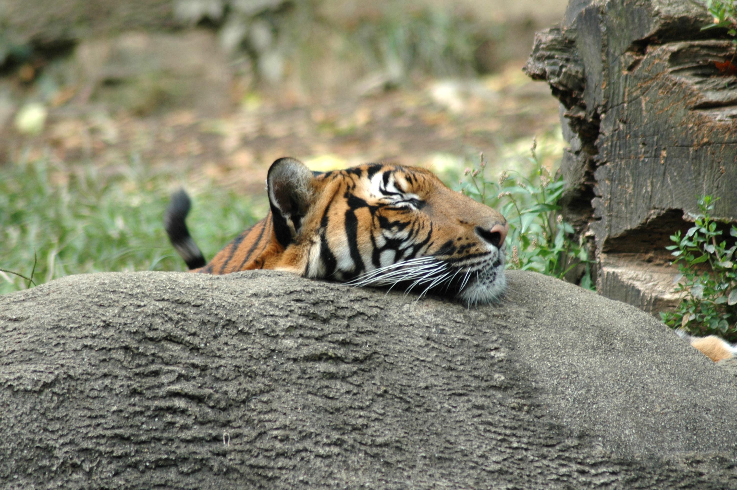 A tiger at Cincinnati Zoo & Botanical Gardens rests on a log.