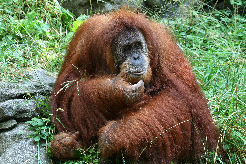 An Orangutan sits in the grass at Cincinnati Zoo.