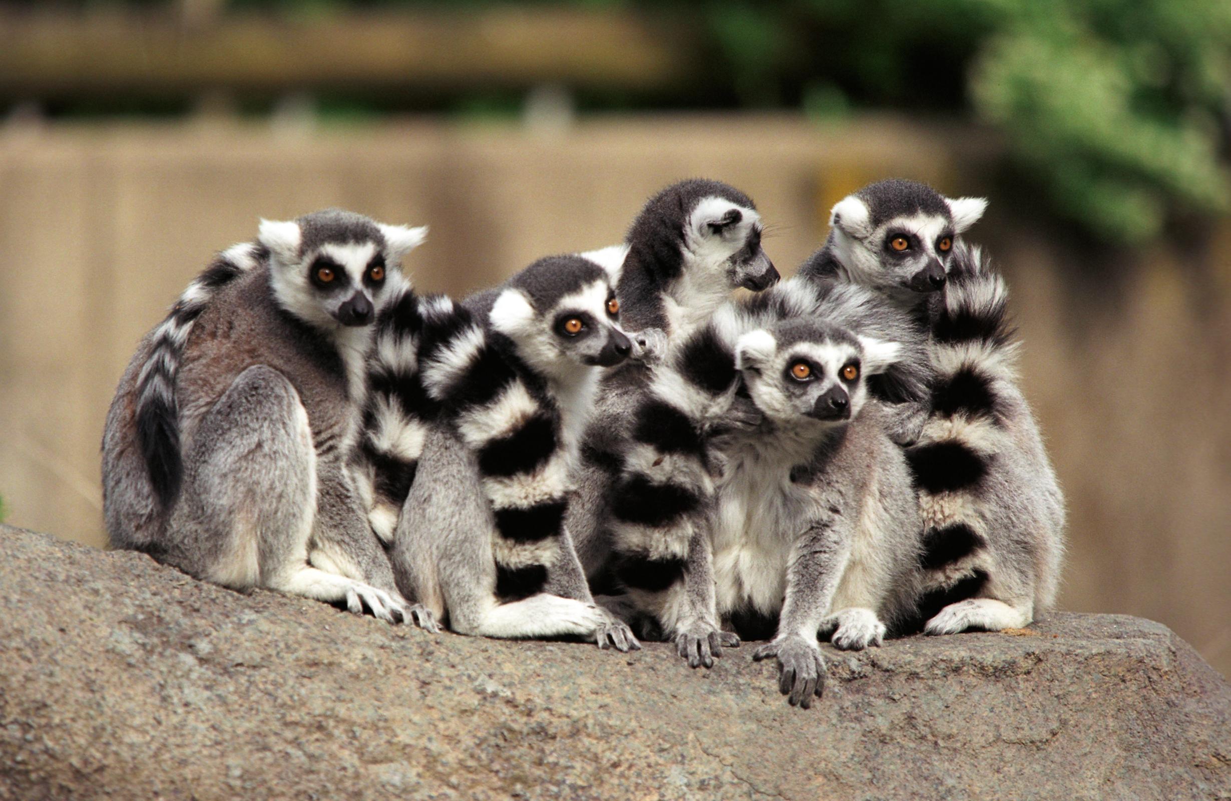 Lemurs in a huddle at Cincinnati Zoo & Botanical Garden.